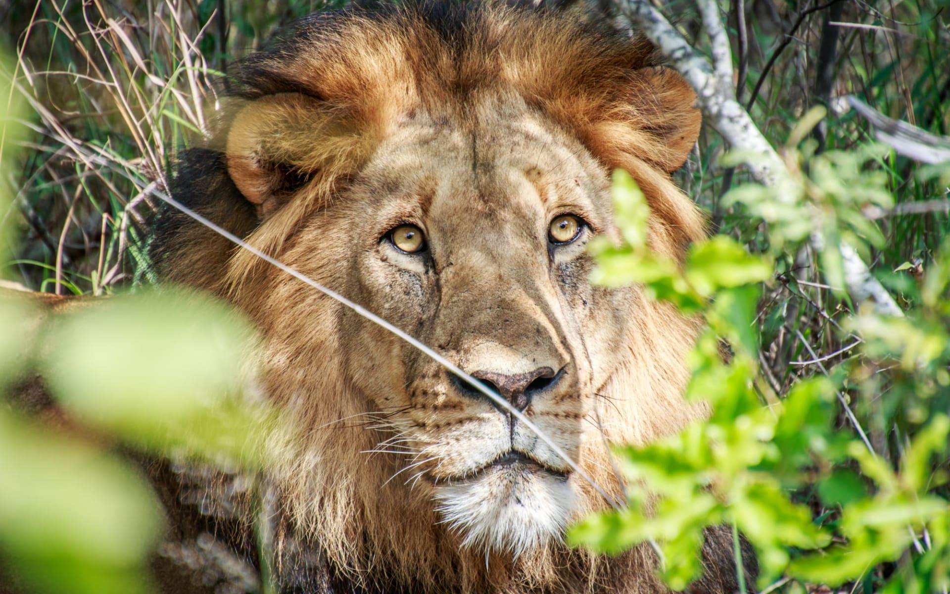 Krüger Nationalpark (Südafrika) & Mozambique ab Johannesburg: Südafrika - Krüger Nationalpark - Löwe