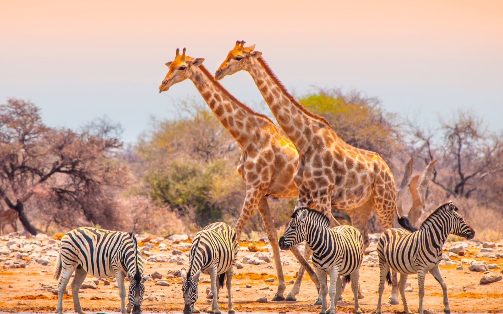 The Mushara Outpost in Etosha Nationalpark: tier Namibia entdecken - Giraffen am Wasserloch c