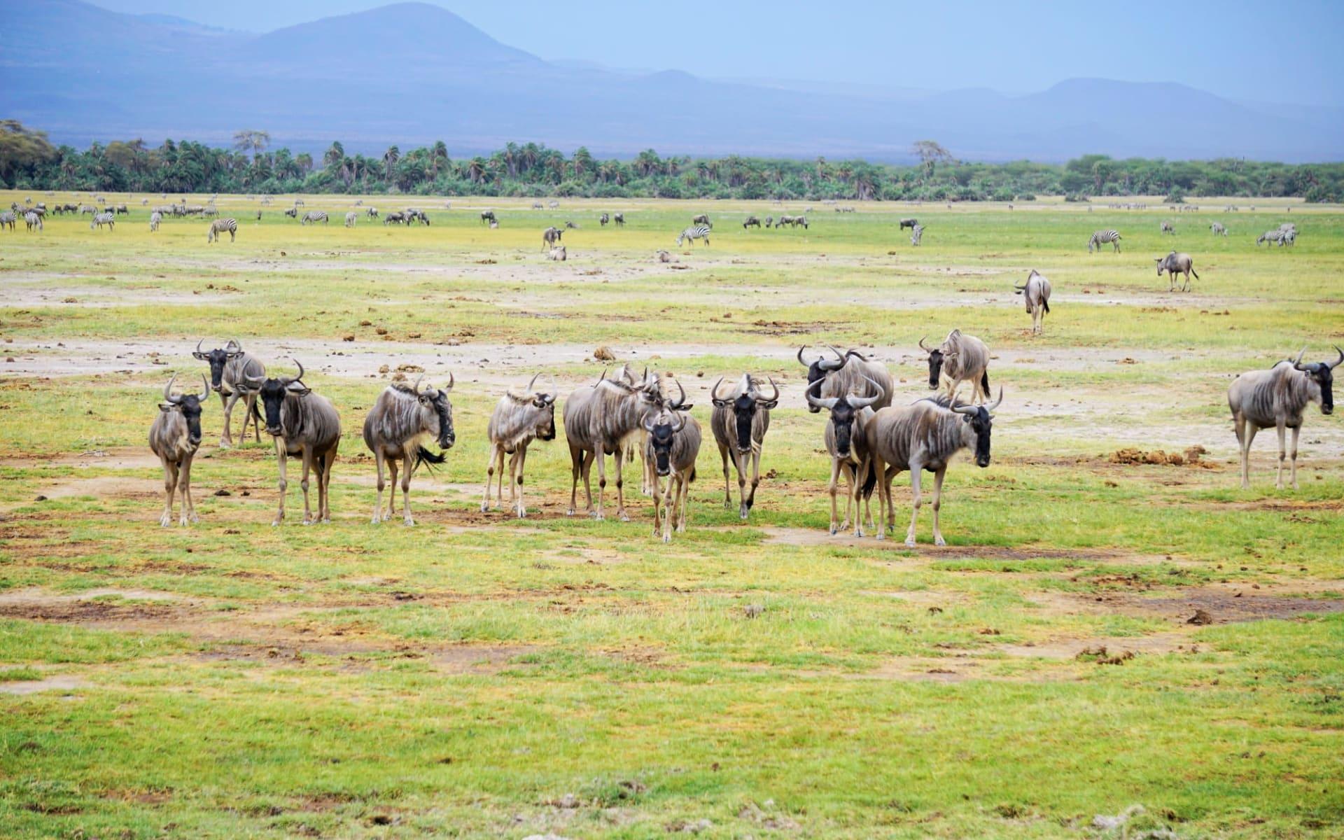 Tanzania Camping Adventure ab Arusha: Wildebeest