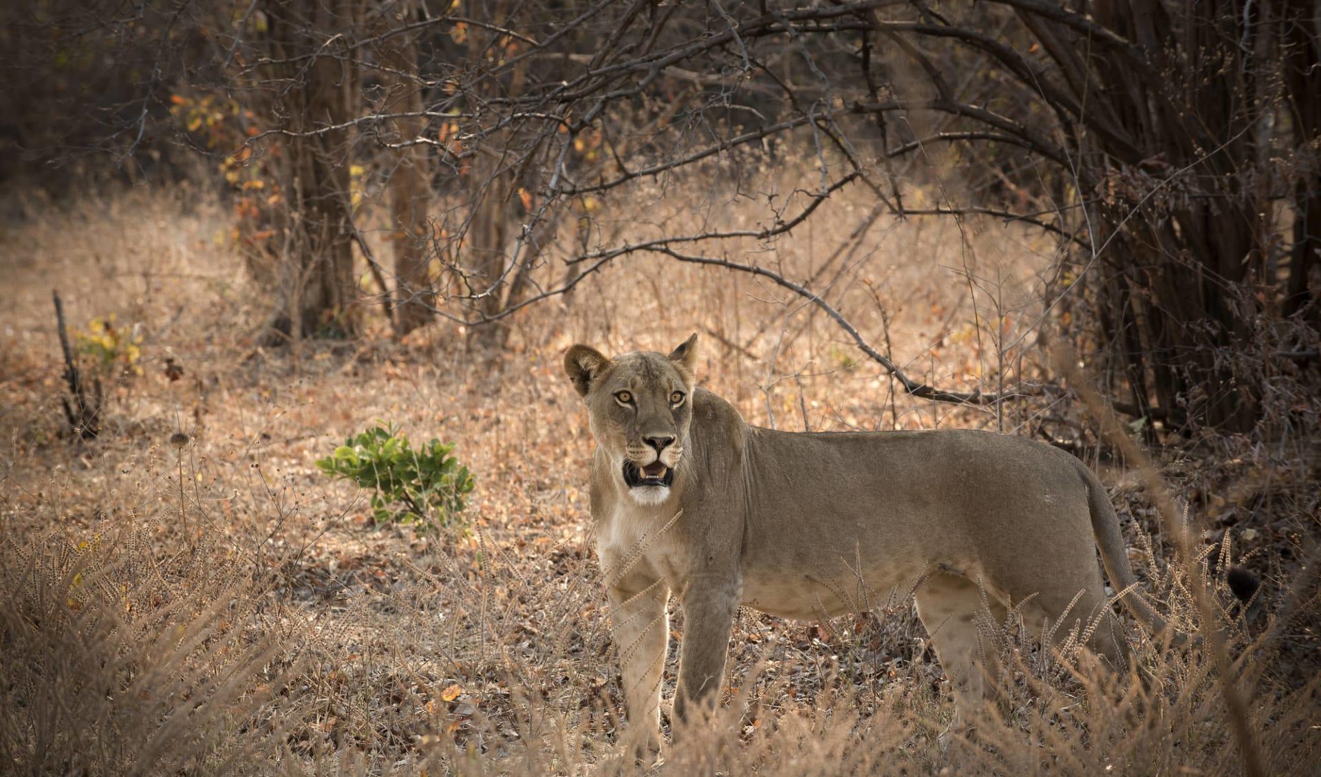 Zimbabwe Highlight Safari ab Victoria Falls: activities: 38.__kanga_camp_wildlife_lion_
