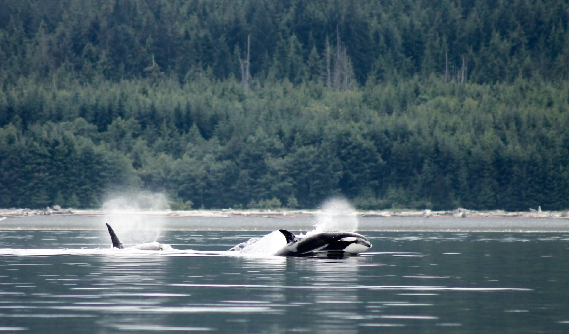 Bärenbeobachtung Farewell Lodge ab Vancouver Island: activities: Farewell lodge - Whalewatching