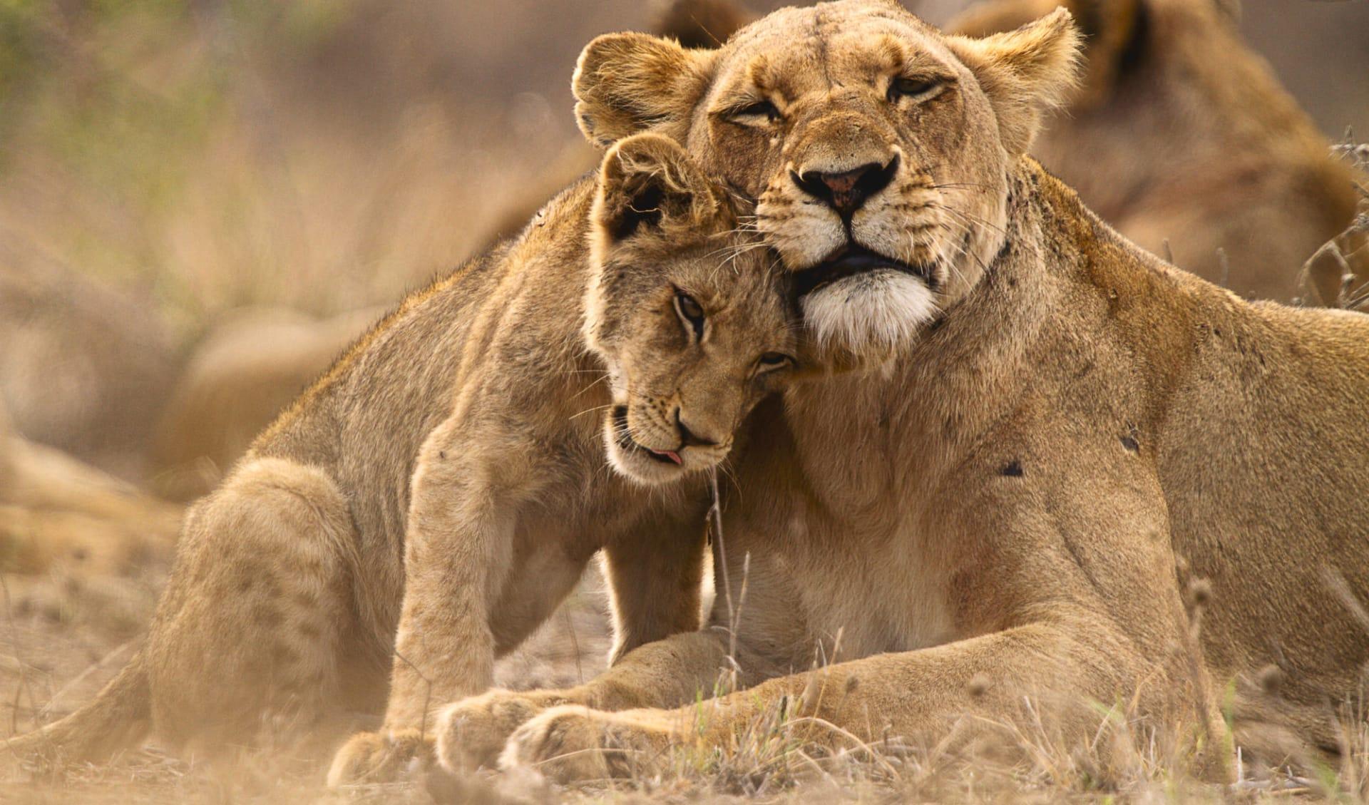 Südafrikanische Impressionen ab Johannesburg: Afrika_Löwen