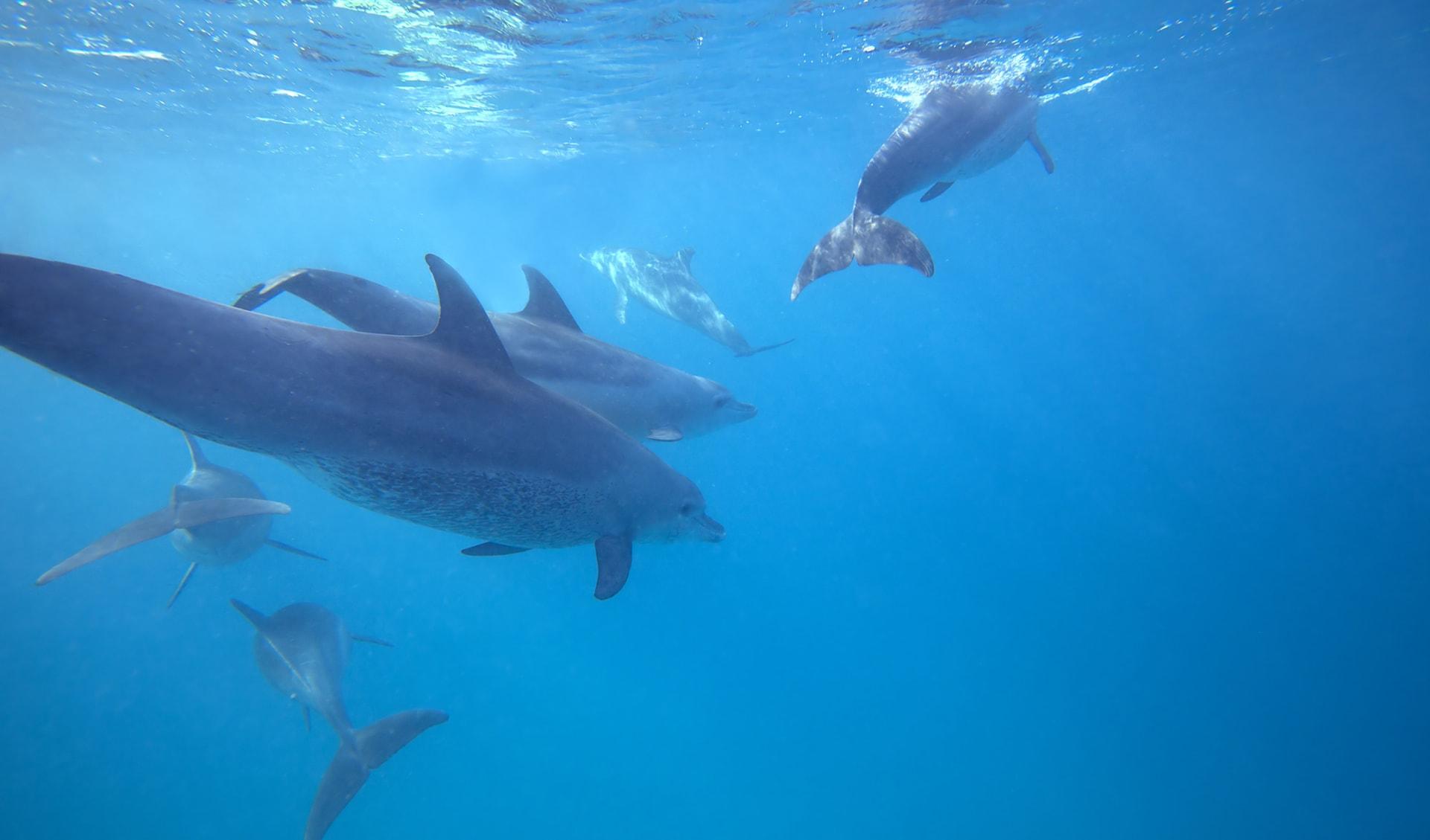 Wilde Delfine, Kenia