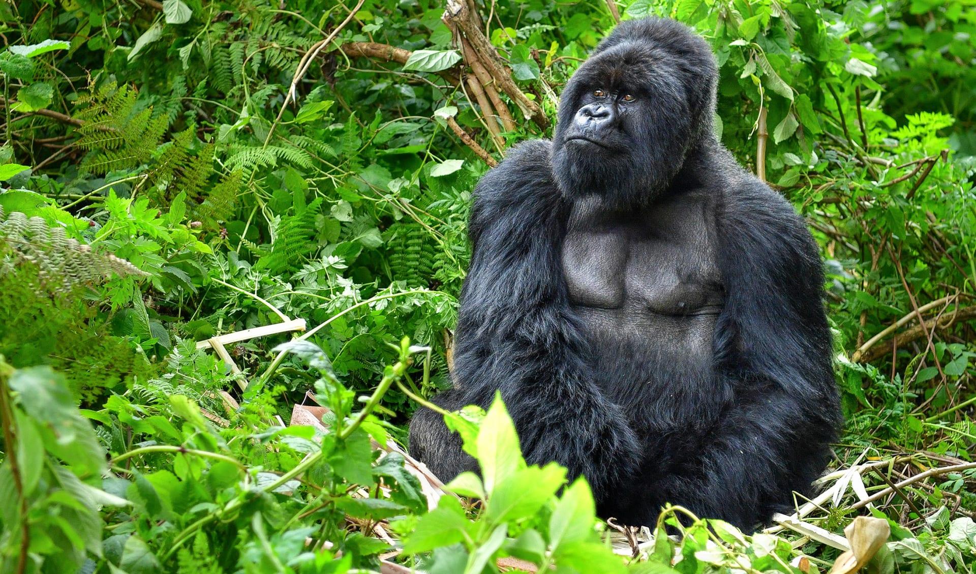 Gorilla Weibchen, Ruanda