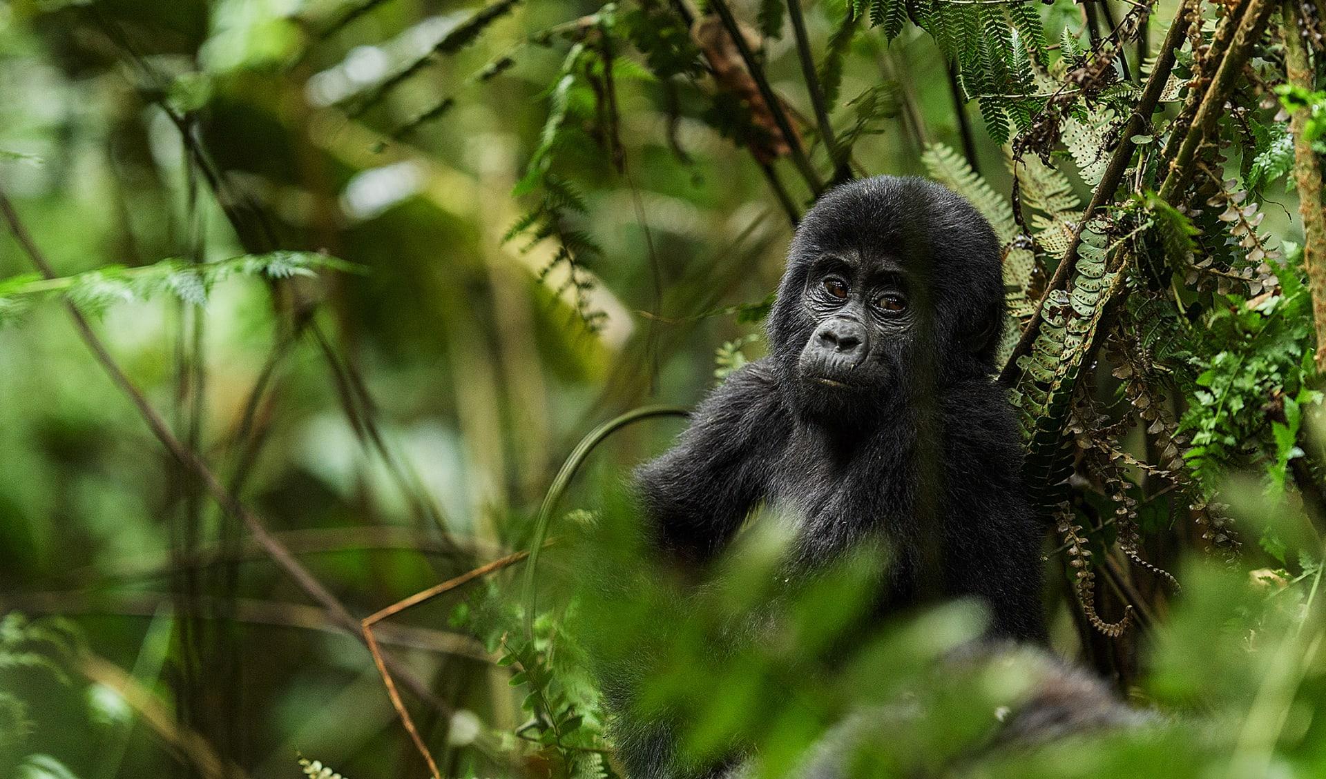 Gorilla Junges, Ruanda