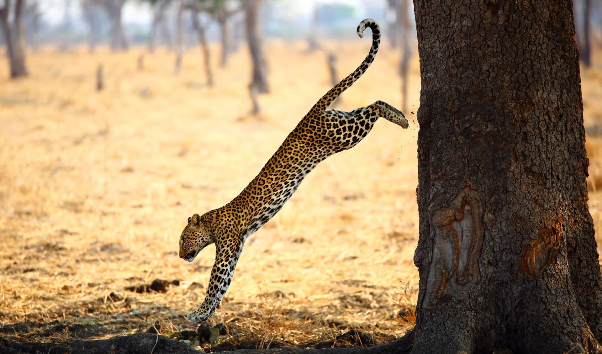 Leopard, Sambia/Simbabwe