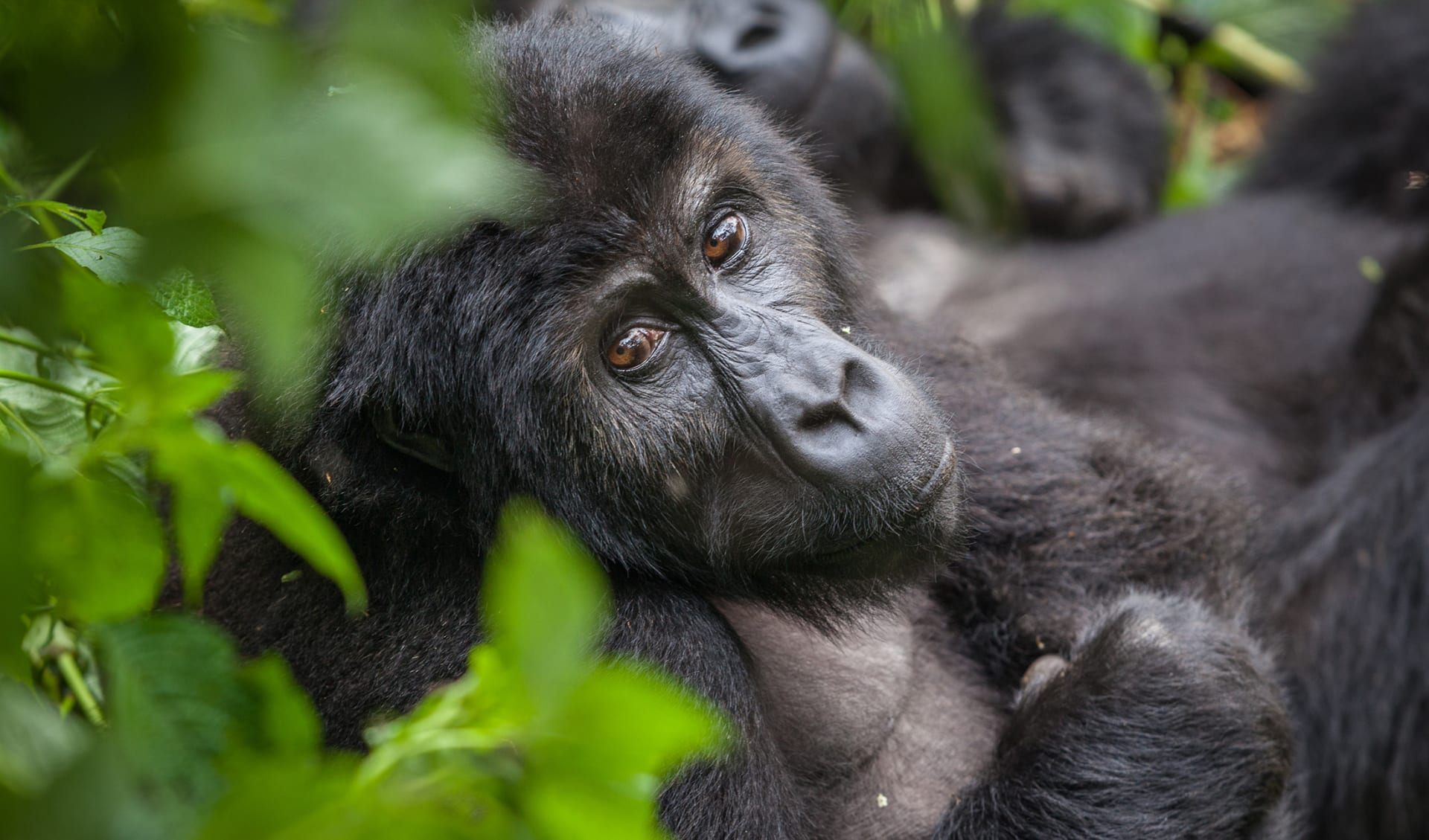 Gorilla Weibchen, Uganda