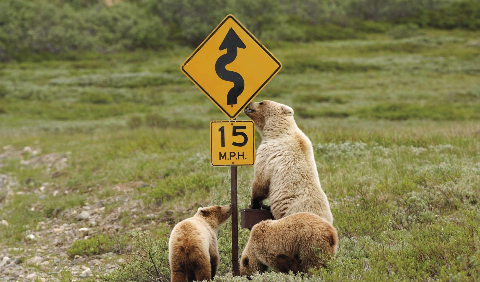 Kodiakbären hautnah ab Anchorage: Alaska - Bären