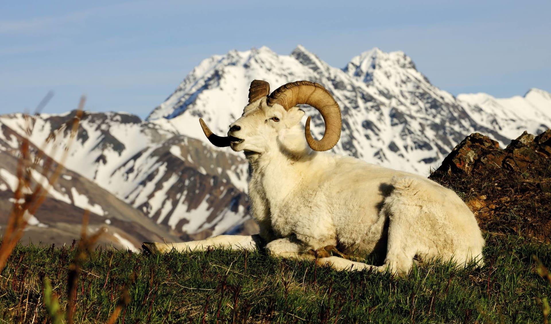 Höhepunkte des Nordens ab Anchorage: Alaska - Denali Nationalpark - Schaf