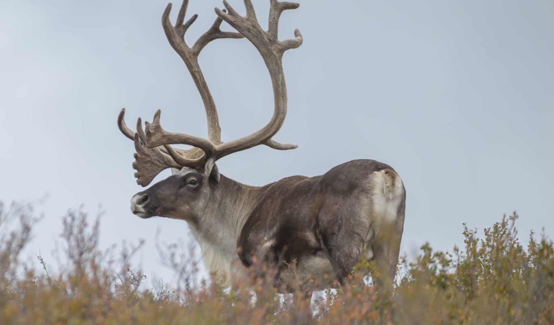 Zauberhaftes Alaska & Yukon ab Anchorage: Alaska - Denali NP - Rentier