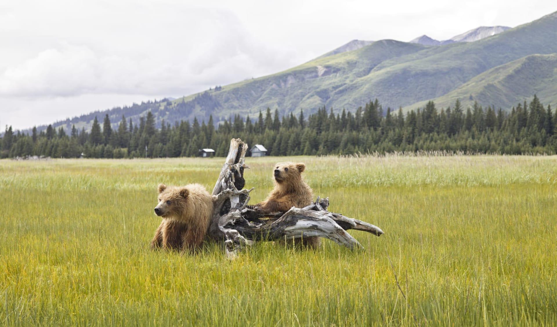 Bärenbeobachtung Redoubt Bay Lodge 3 Tage ab Anchorage: Alaska - Denali NP - Zwei spielende Bären