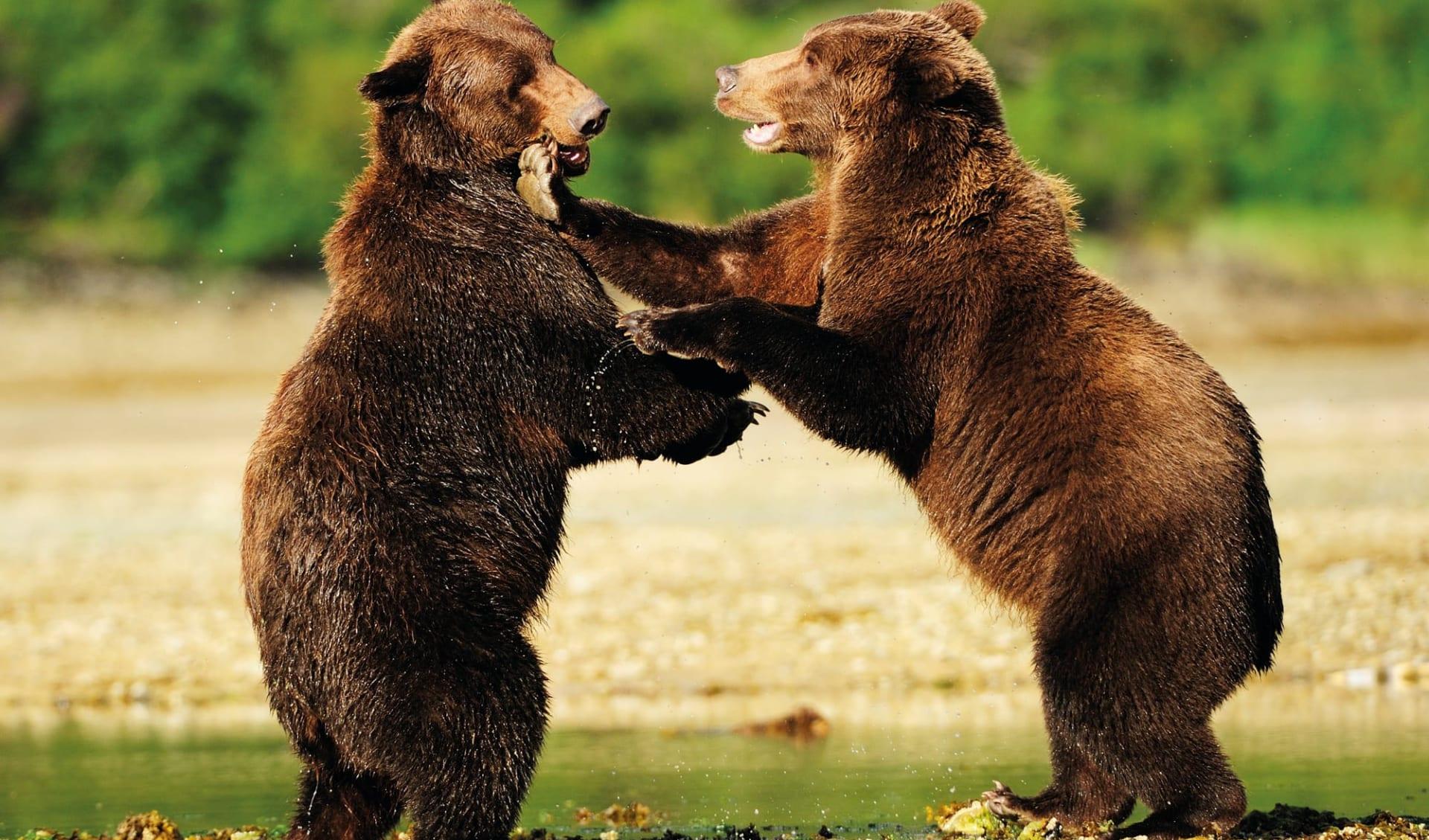 Bärenbeobachtung Redoubt Bay Lodge 3 Tage ab Anchorage: Alaska - Katmai Nationalpark - Bären am Spielen