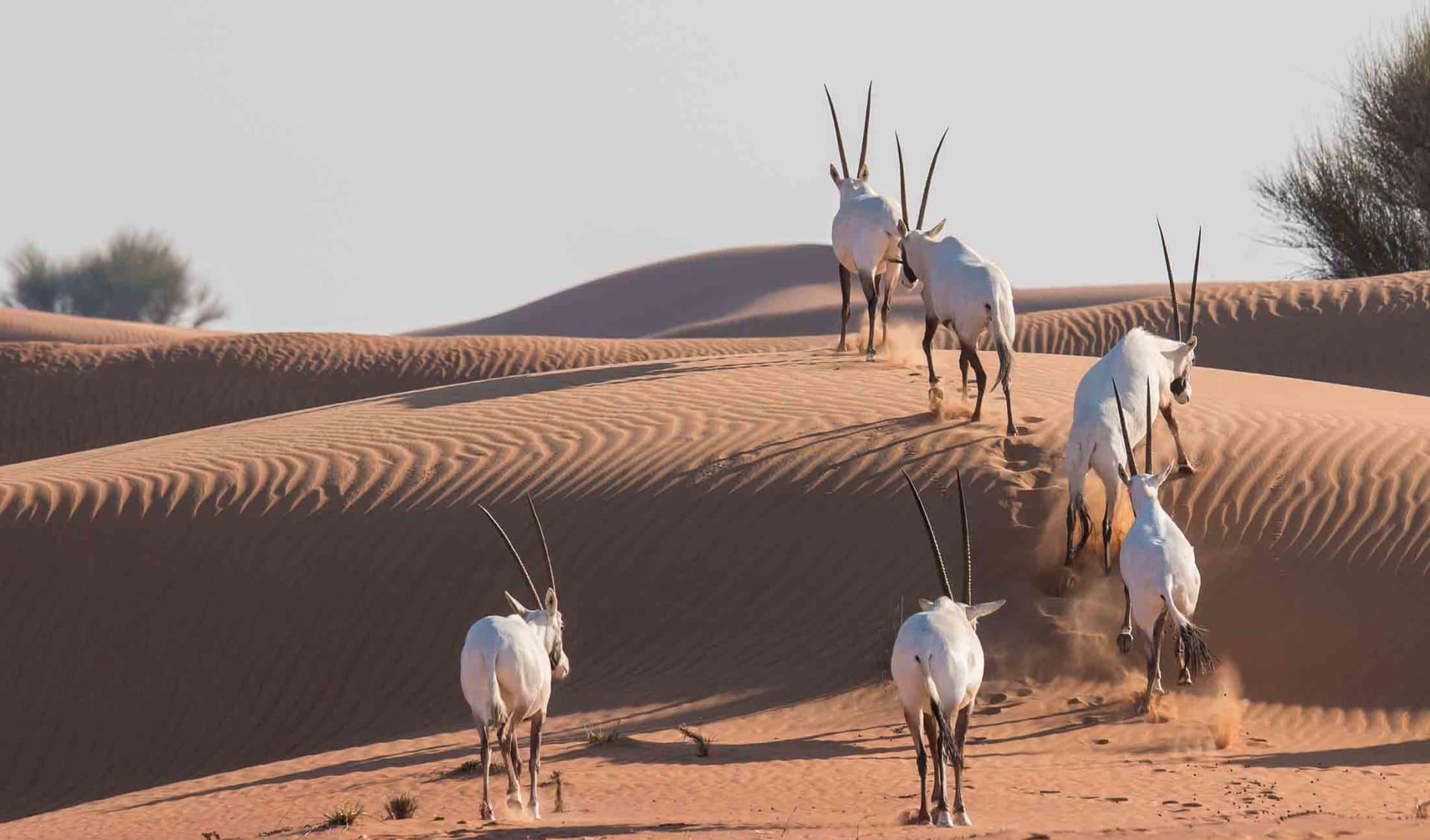 Arabian aryx family, Vereinigte Arabische Emirate