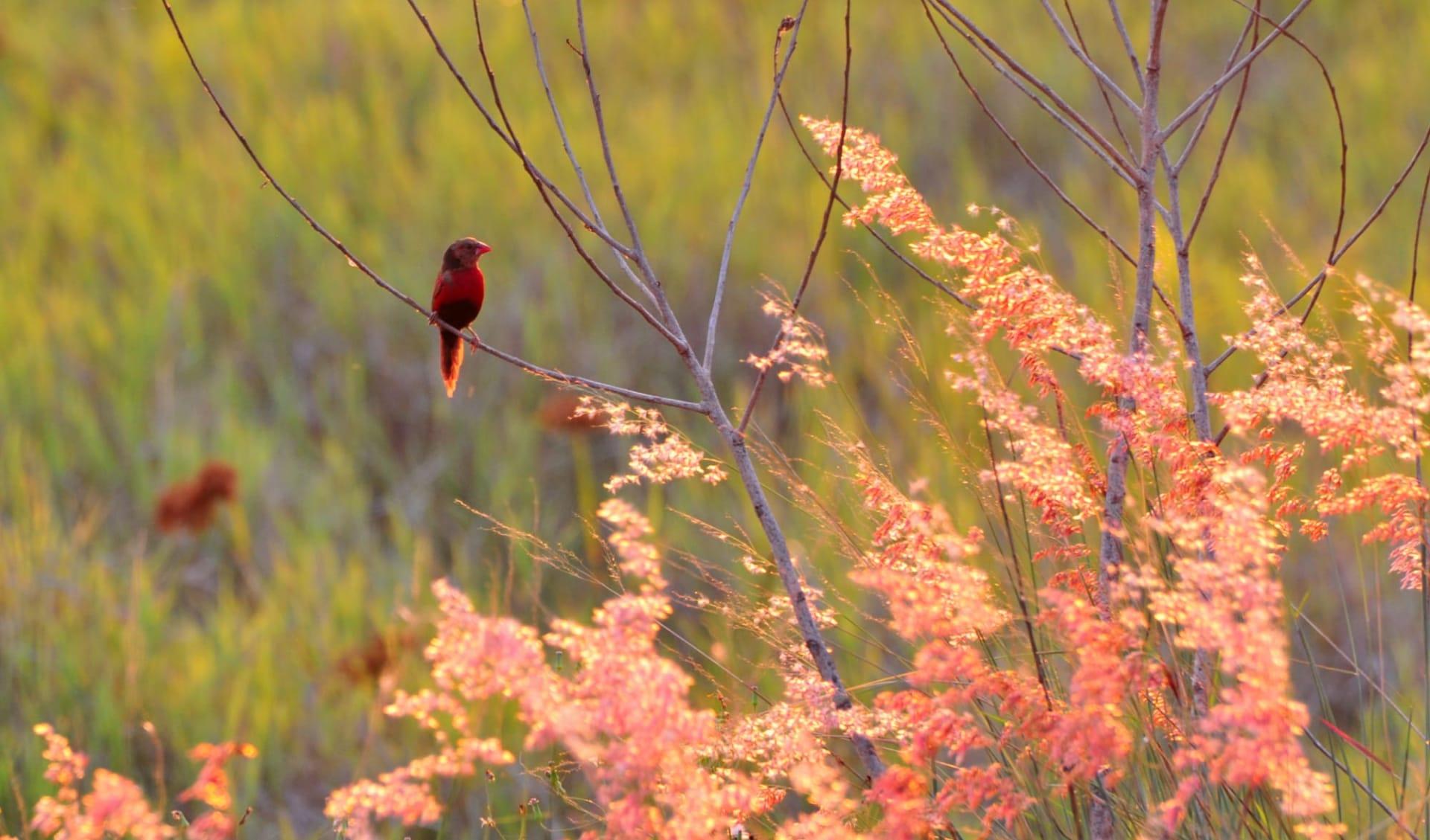 Kakadu, Arnhem Land & Cobourg Peninsula ab Darwin: Arnhem Land - Crimson Finch