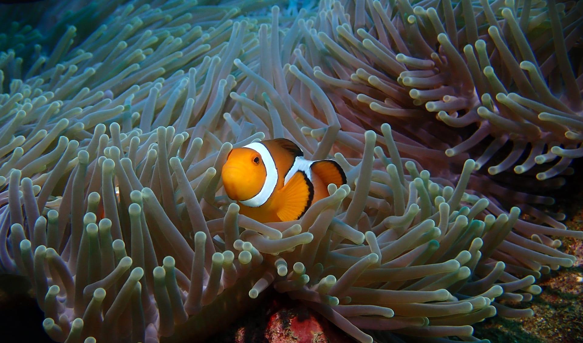 Clownfisch, Schnorcheln, Bali