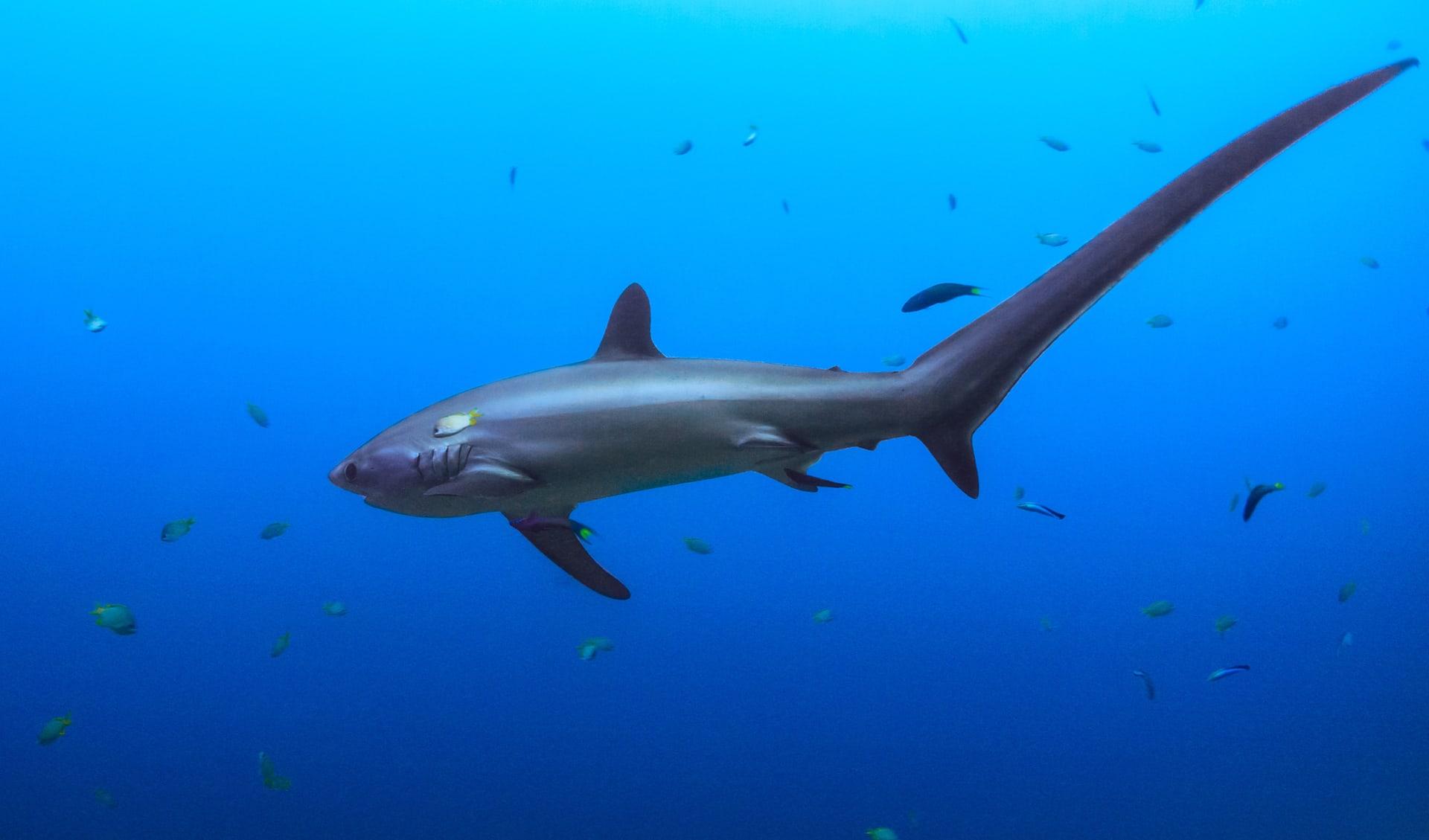 Thresher Hai, Philippinen