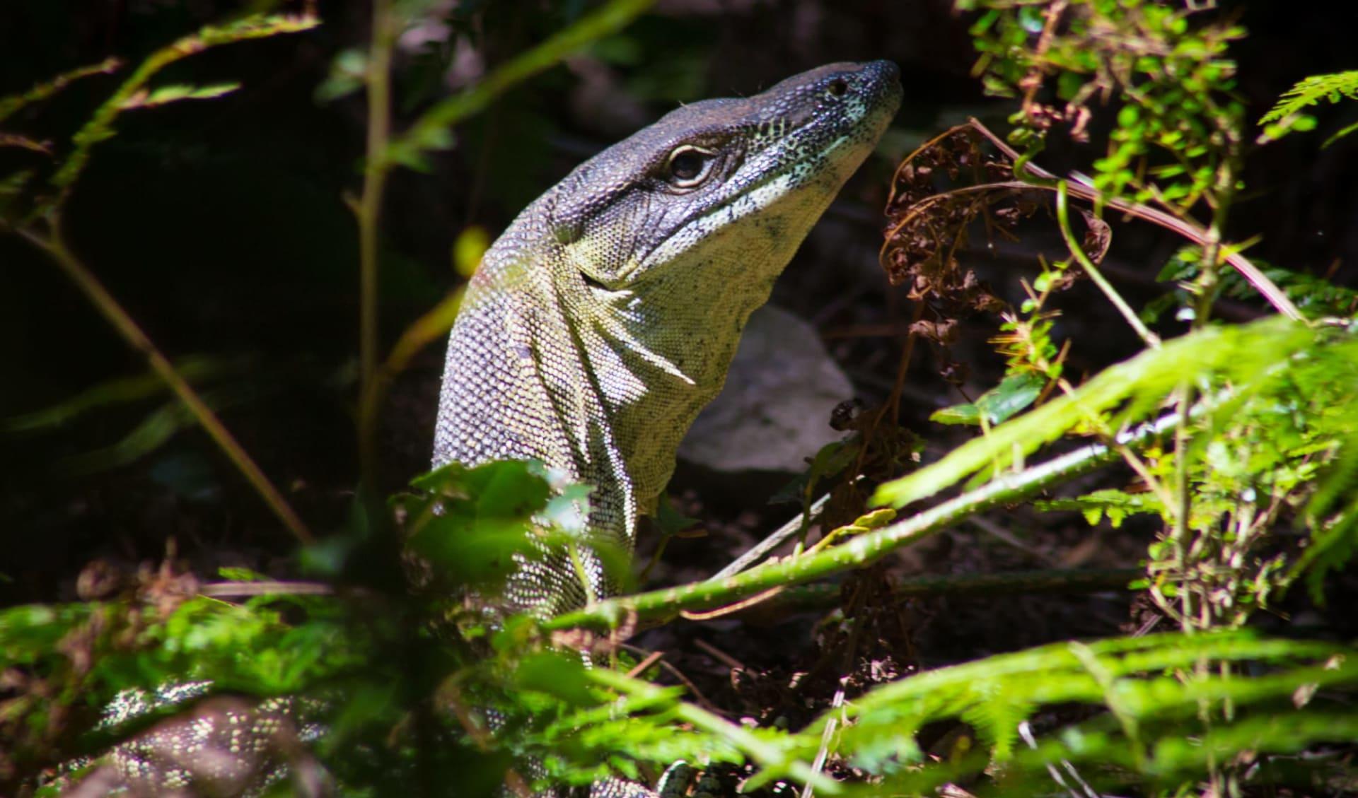 Cape York Safari ab Cairns: Australia - Queensland - Scenic Rim Trail - Waran