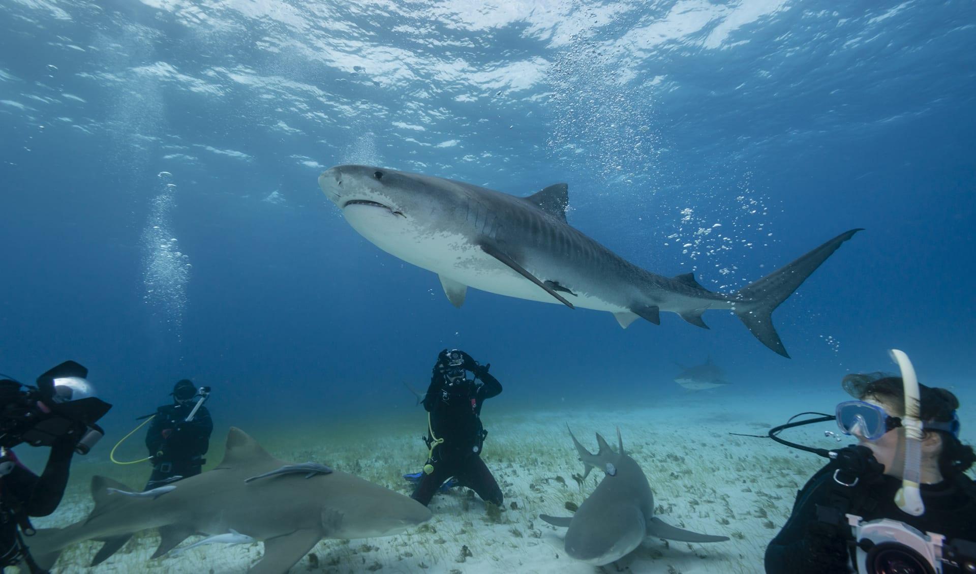 Tigerhai, Australien