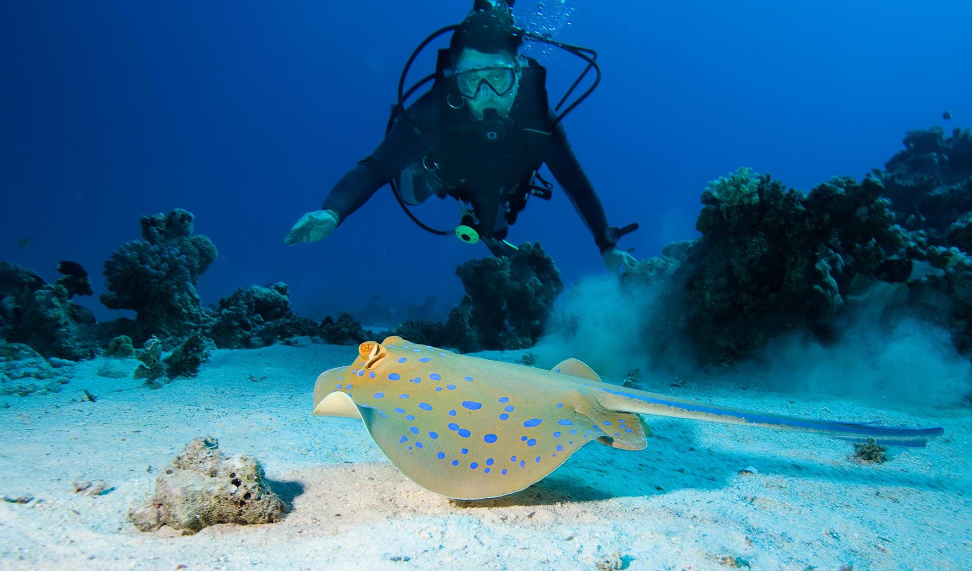Diver- und Bluespottrochen, Australien