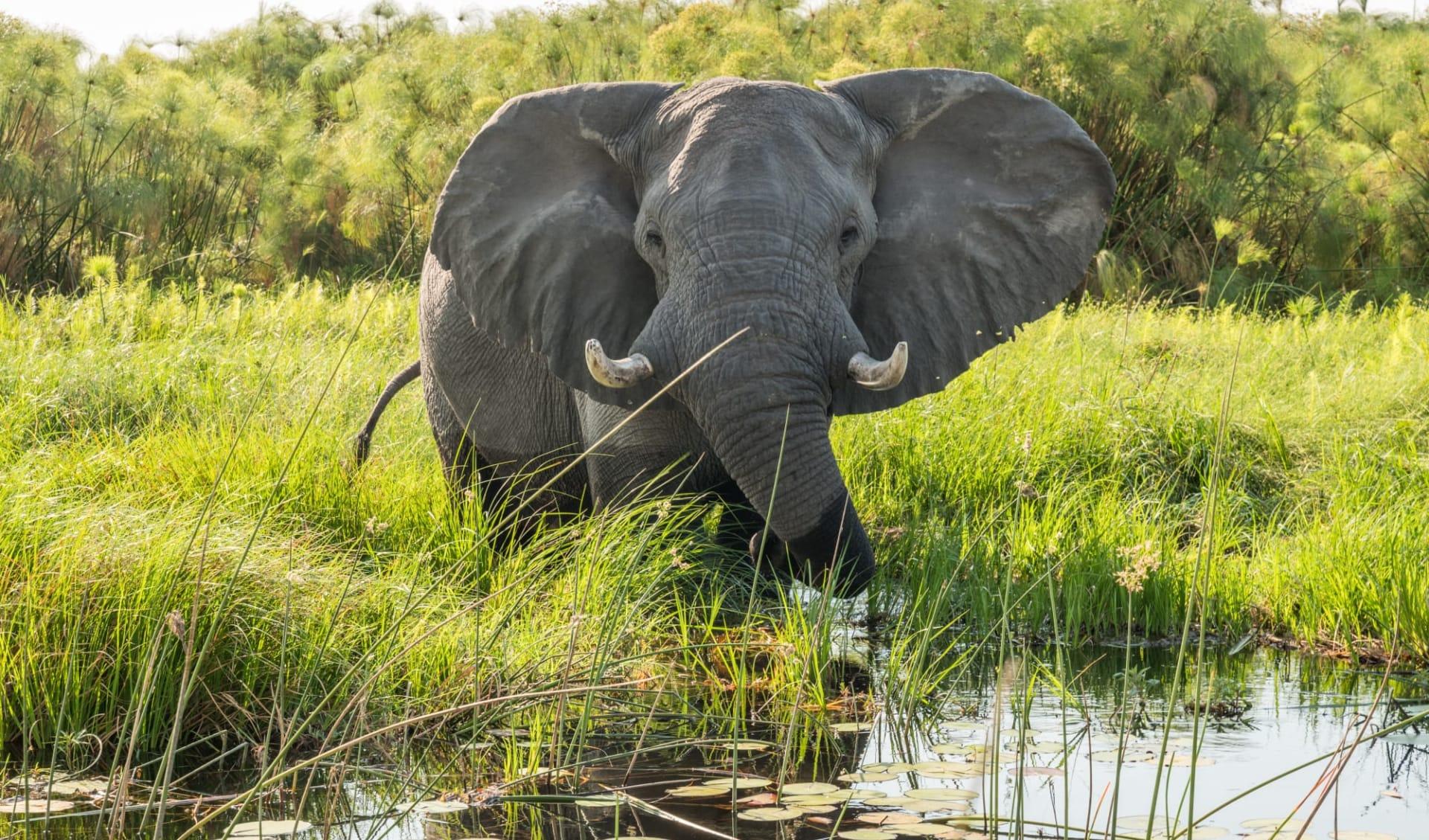 4 C's (Commerce, Conservation, Community & Culture) ab Kapstadt: Botswana - Okavango Delta - Elefant