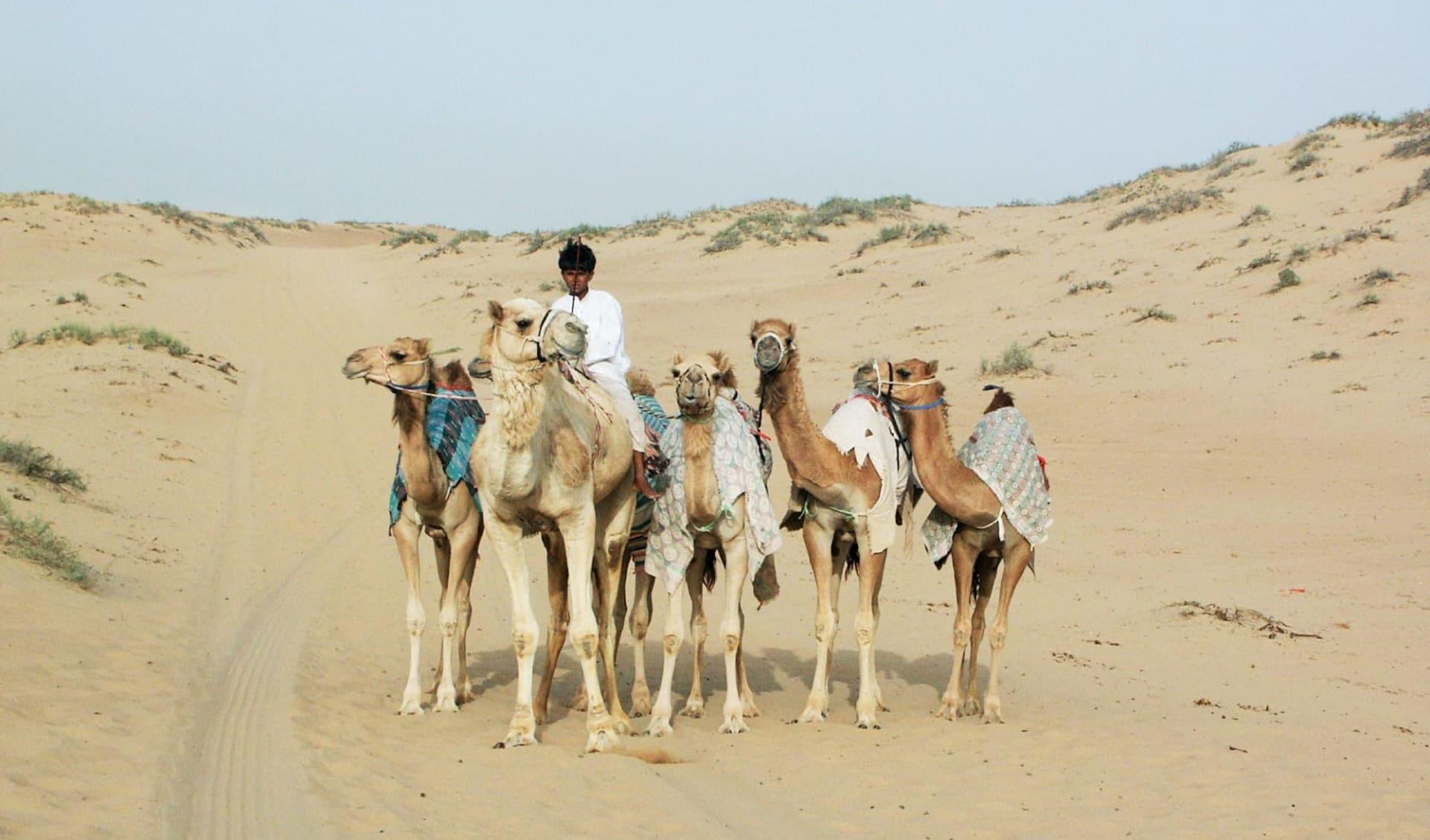 Auf den Spuren der alten Weihrauchroute ab Salalah: Camels in Oman