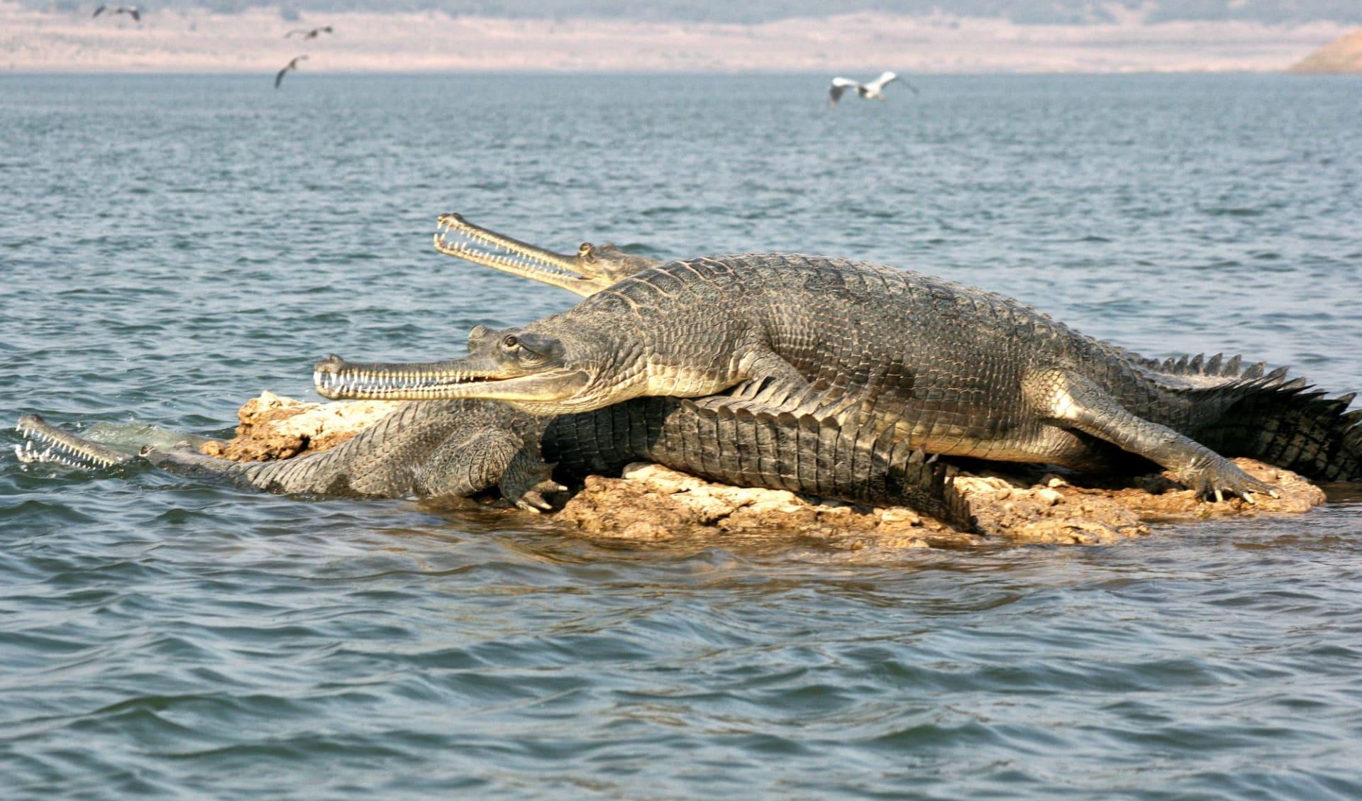 Chambal Safari ab Agra: Chambal: Gharials