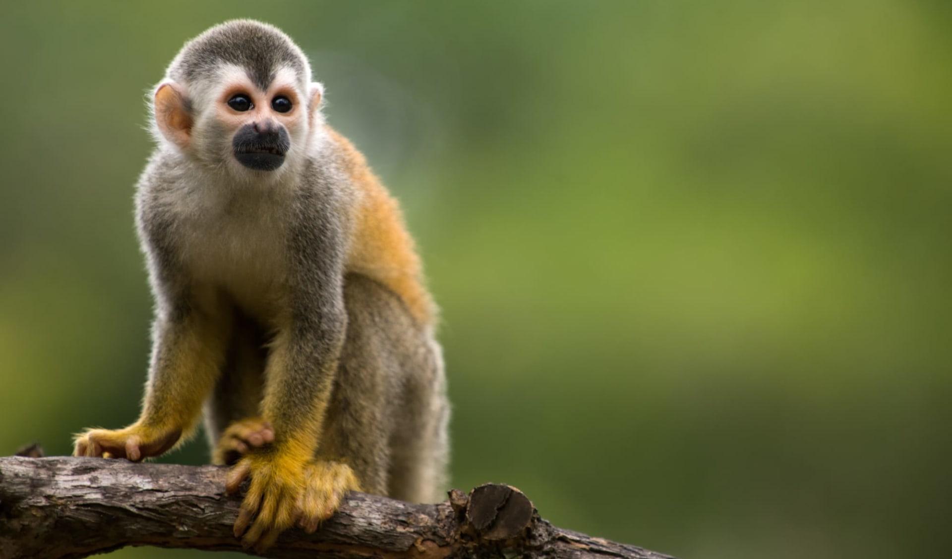 Privatreise Costa Rica Classic ab San José City: Costa Rica - Affe auf Ast