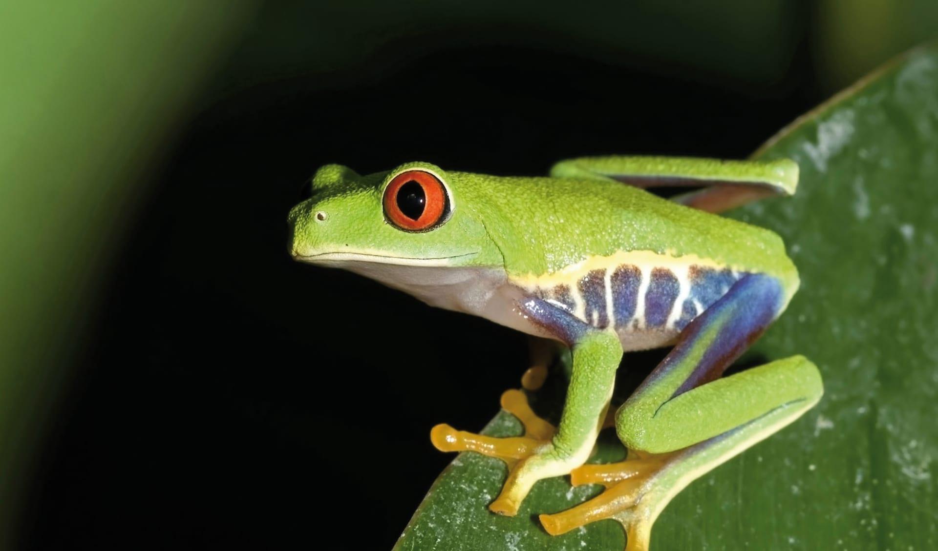 Mietwagenreise Zwischen zwei Ozeanen ab San José City: Costa Rica - Frosch