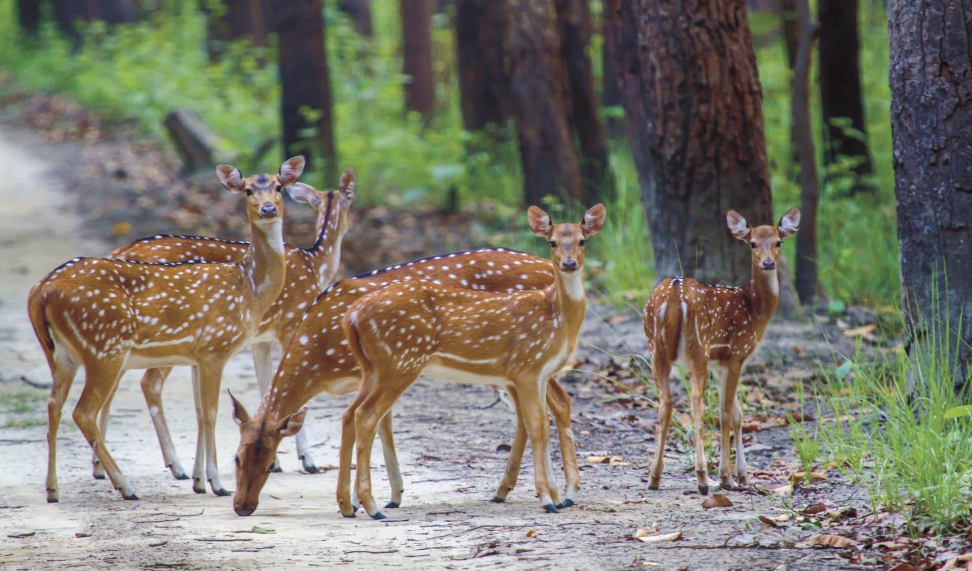 Jaagir Lodge Safari ab Lucknow: Deer
