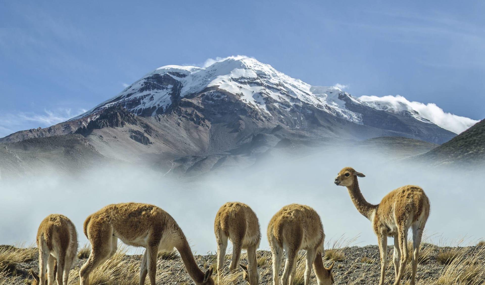 Anden - Galapagos Mosaik ab Quito: Ecuador - Chimborazo Vulkan - Lamas