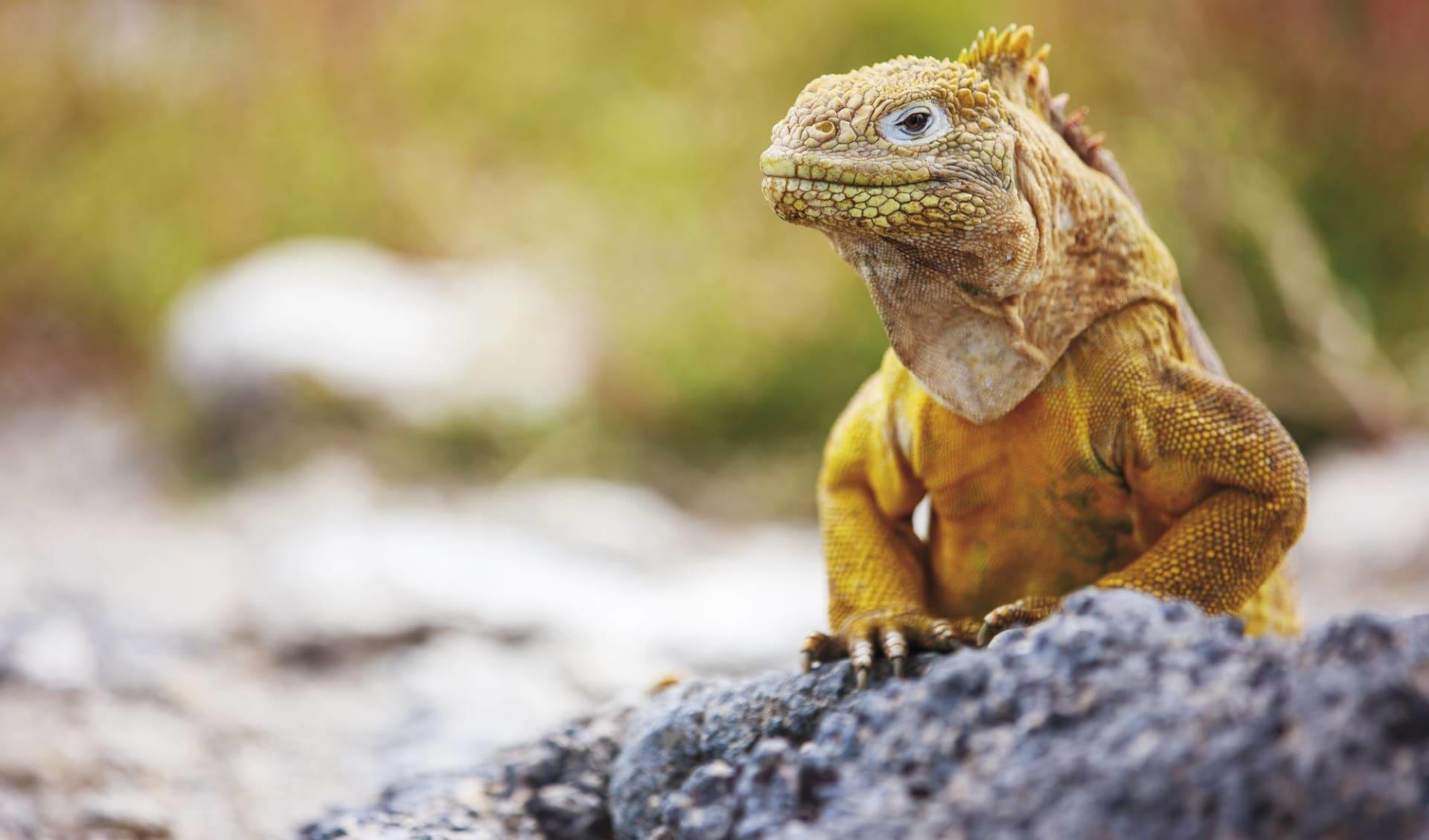 Island Hopping Galapagos ab Puerto Ayora: Drusenkopf Landleguan