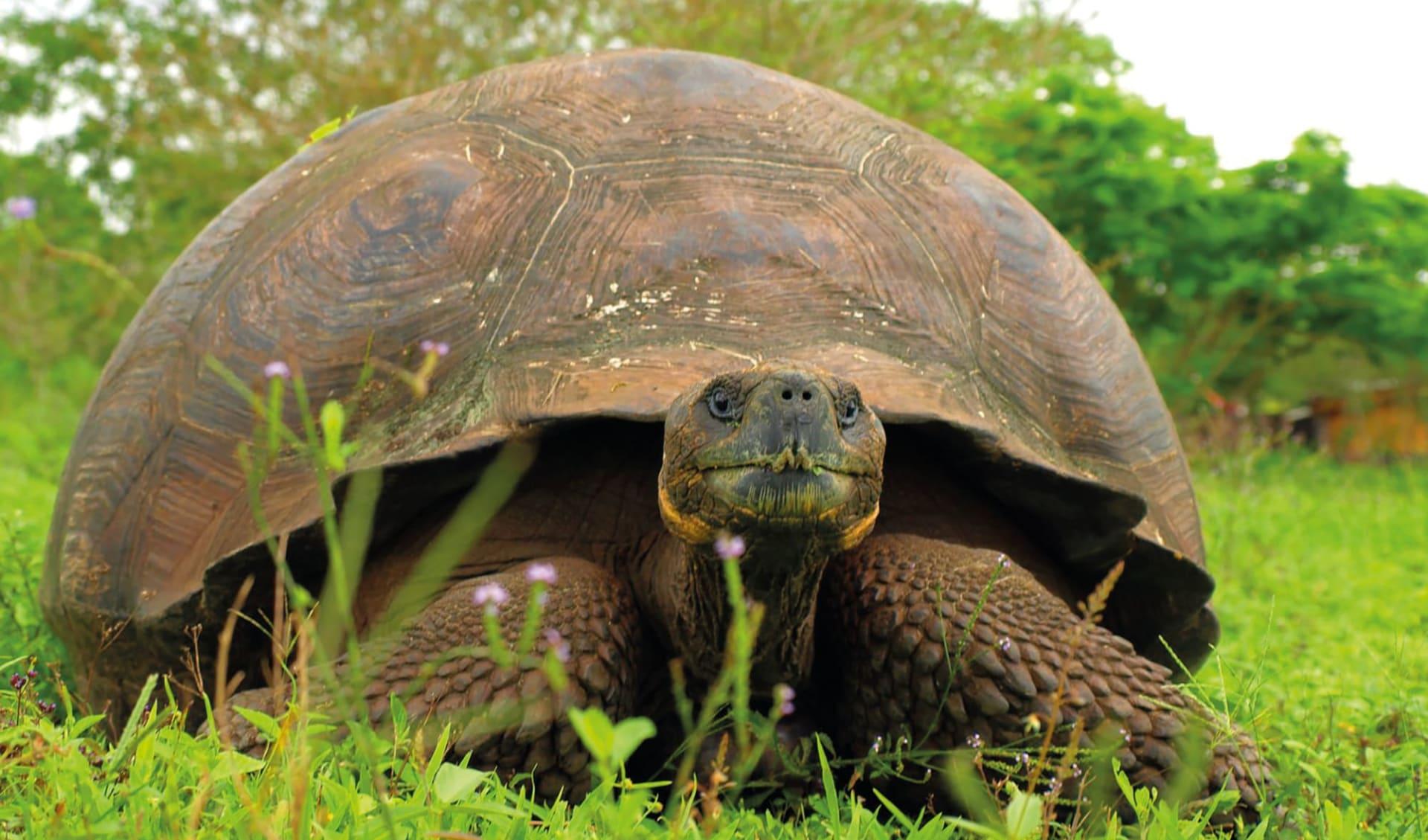 M/V Santa Cruz II ab Kreuzfahrten: Riesenschildkröte