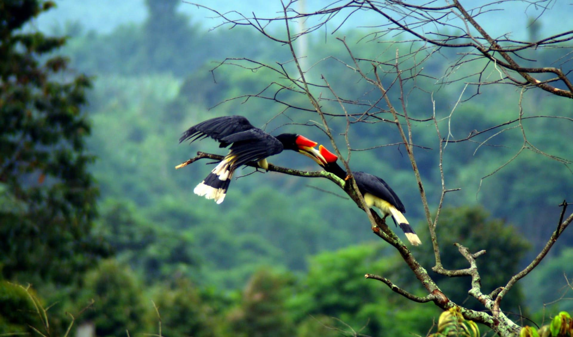 Borneo Wildlife / Borneo Rainforest Lodge ab Kota Kinabalu: Hornbill In Love