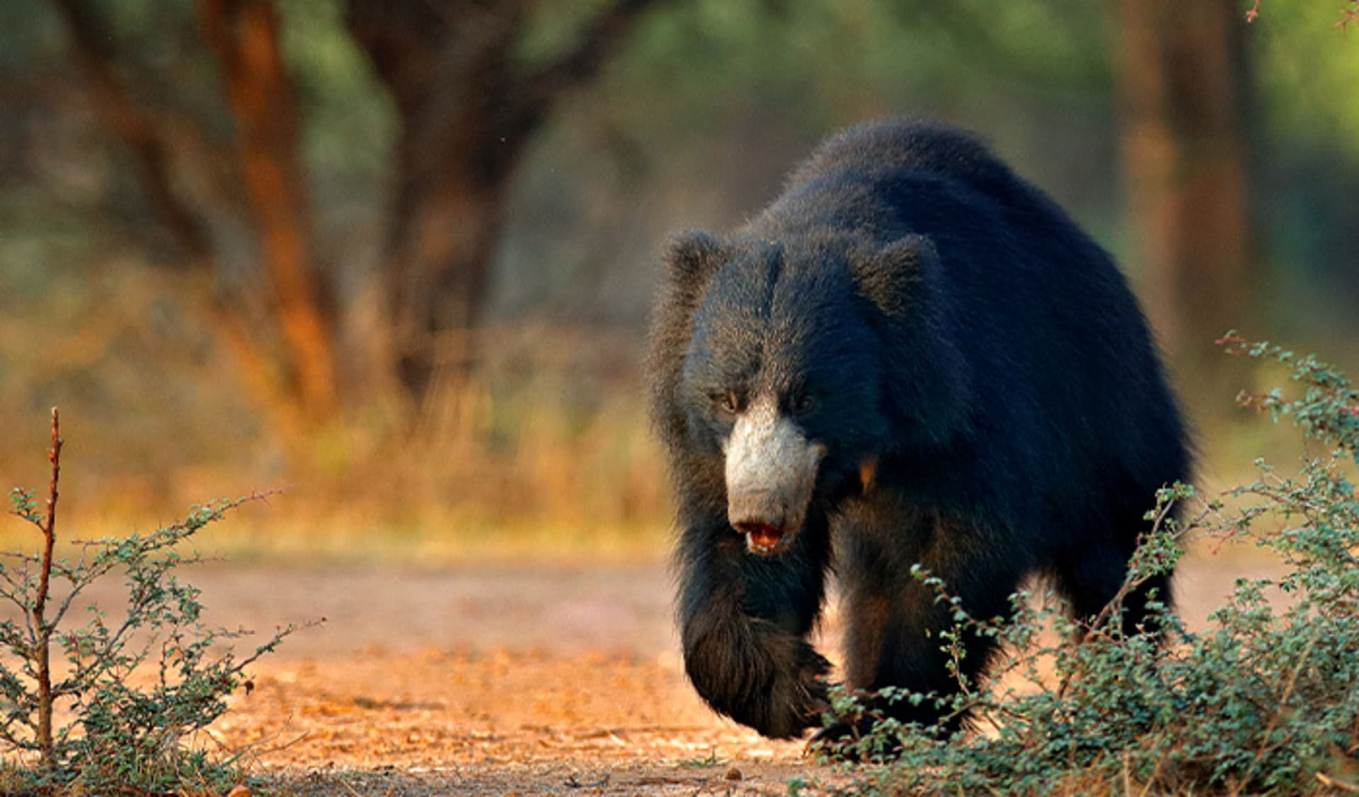 Bandhavgarh Nationalpark, Indien