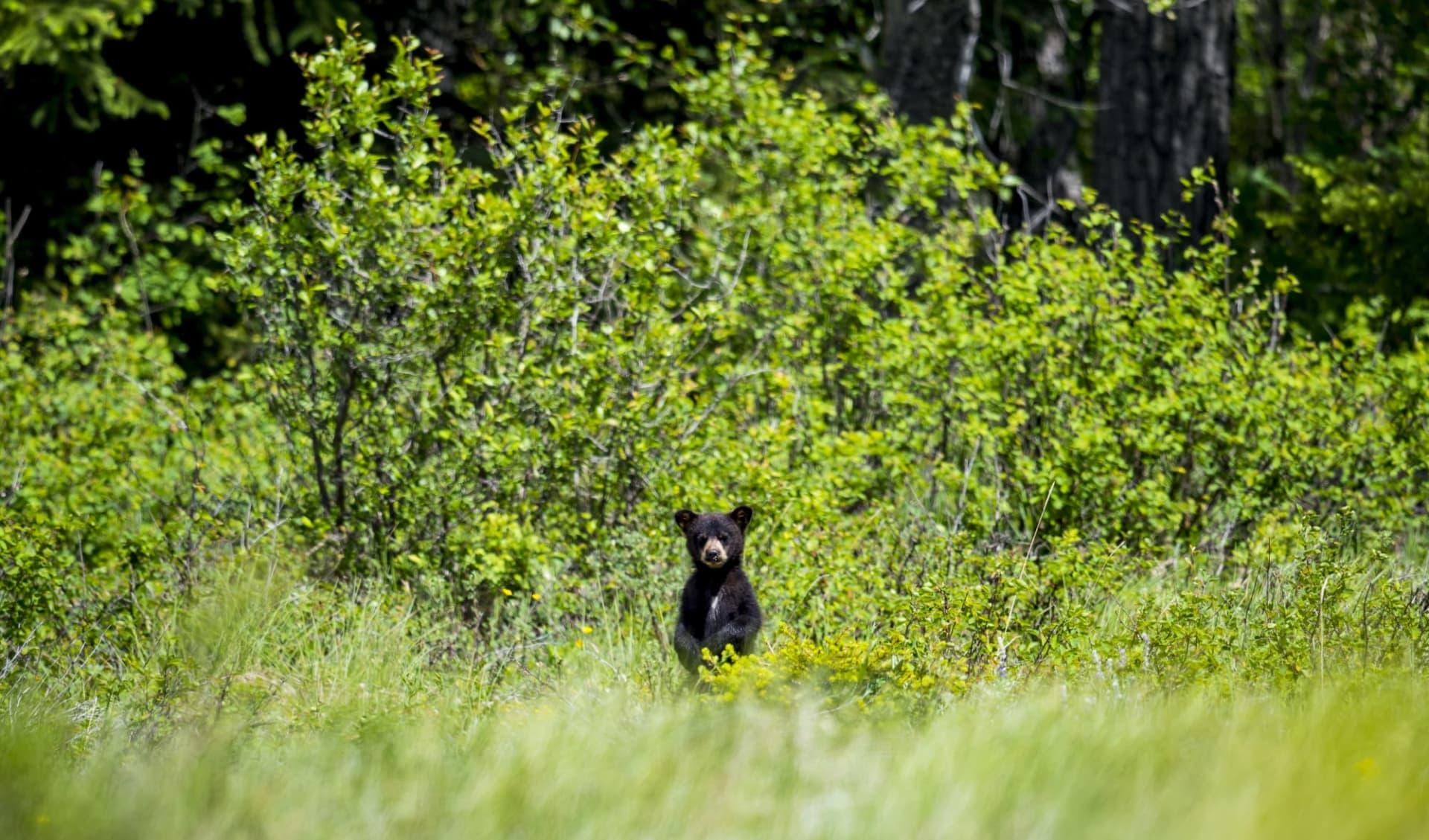 Coastal Rainforest Safari 5 Tage ab Port Hardy: Kanada_Bear Cup