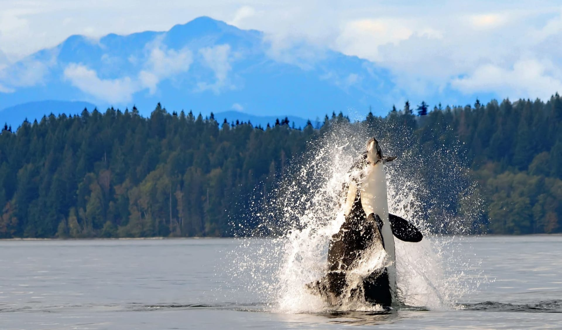 Höhepunkte Westkanadas ab Vancouver: Kanada - Campbell River B.C - Orca