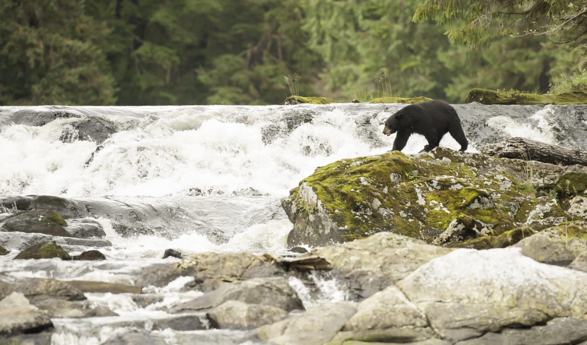 Bärenbeobachtung Spirit Bear Lodge ab Vancouver: Kanada_Great Bear Rainforest_