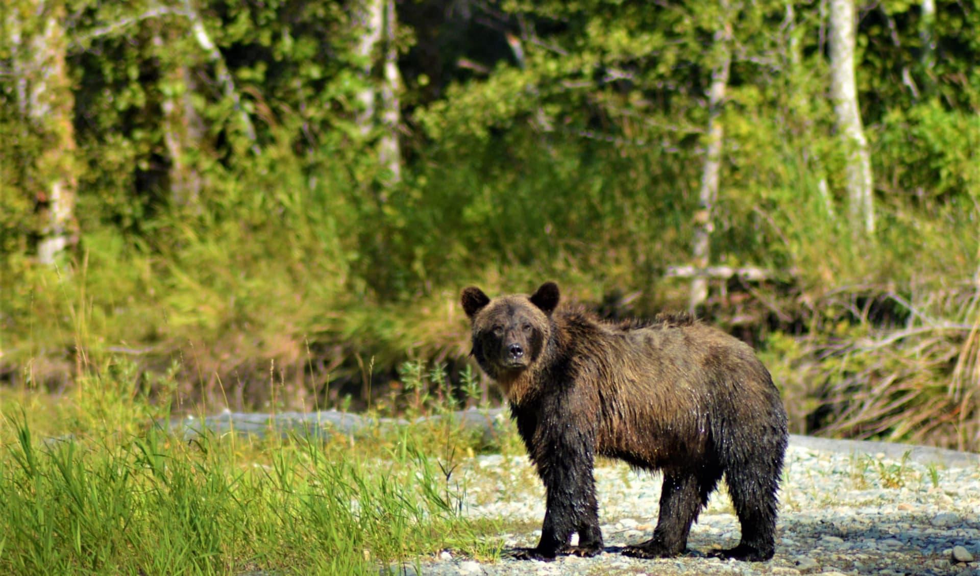Bella Coola Valley Inn: kanada_grizzly_bear_coola_river