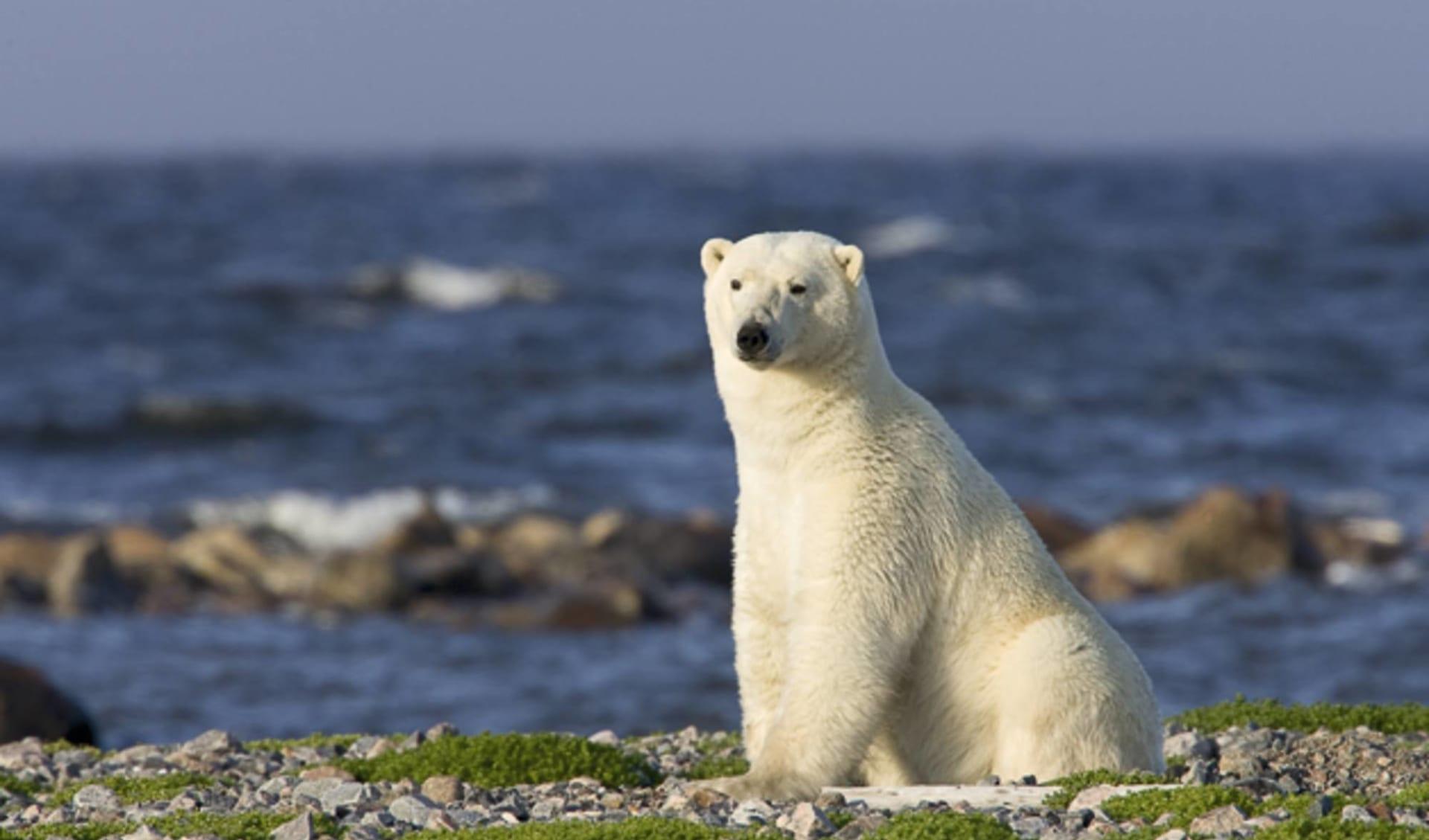 Belugawale & Eisbären Im Sommer ab Winnipeg: Kanada - Manitoba - Eisbär sitzend