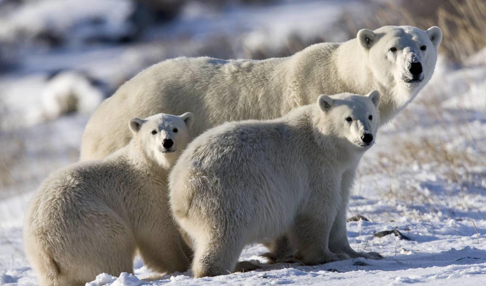 Eisbären-Abenteuer Hudson Bay im Winter ab Winnipeg: Kanada - Manitoba - Eisbären-Familie