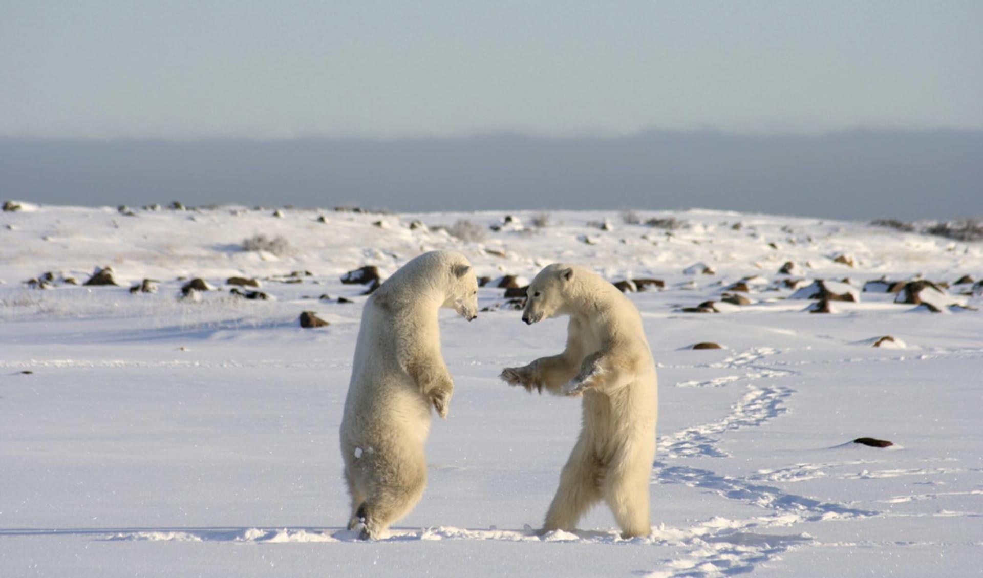 Eisbären-Abenteuer Hudson Bay im Winter ab Winnipeg: Kanada - Mantitoba - Eisbären