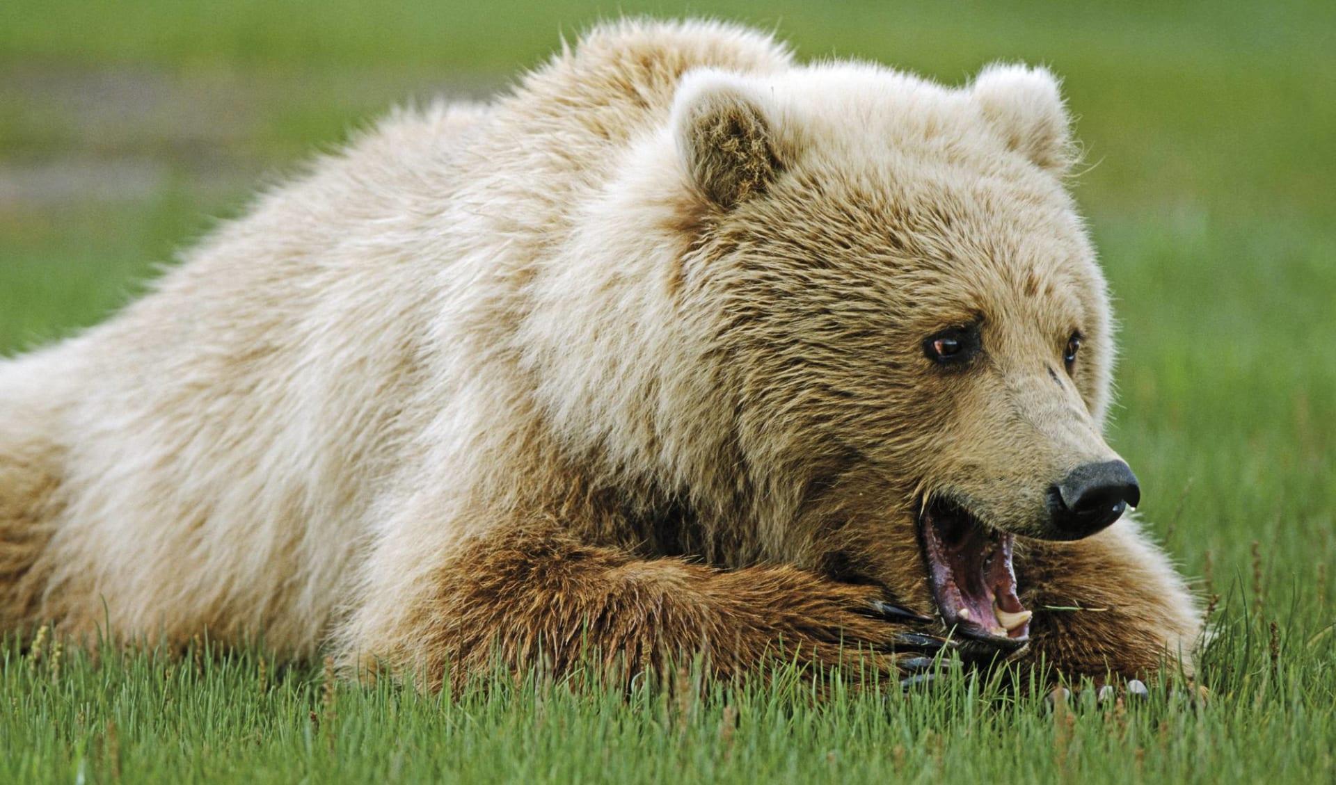 Yukon River Abenteuer ab Whitehorse: Kanada - Yukon - Grizzly im Gras