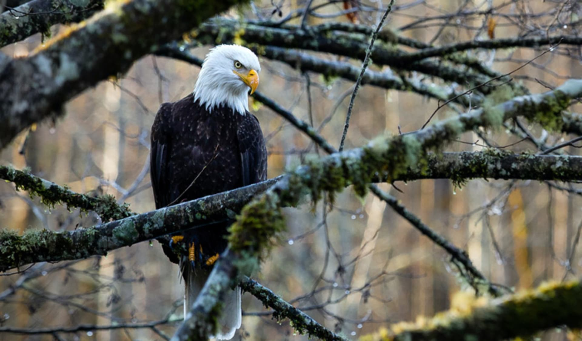 A Bald Eagle in a forest