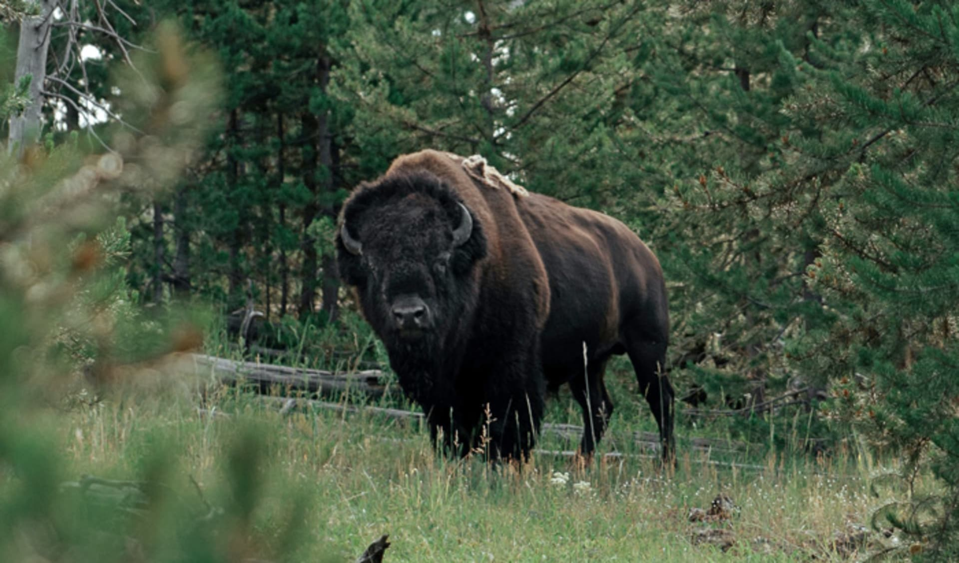 Bison grazing in the bushes