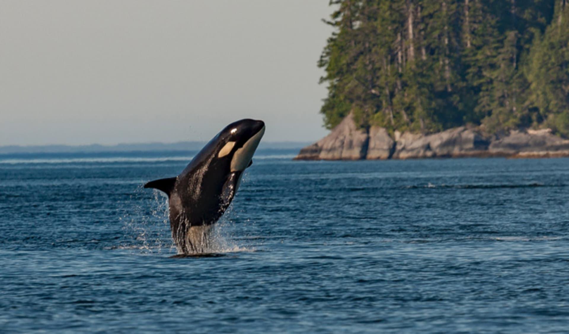 Killer Whale in British Columbia, Canada