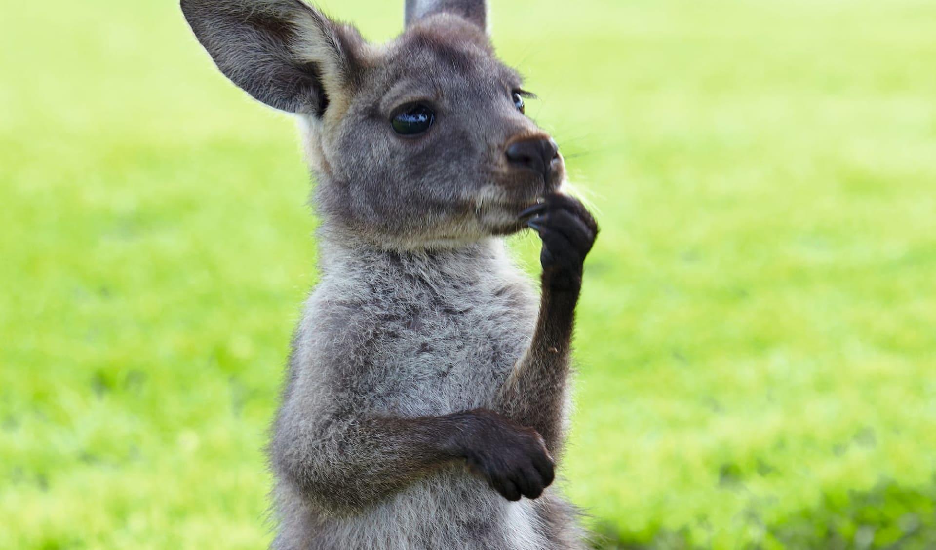 Lifestyle, Wine & Wildlife ab Adelaide: Junges Känguruh