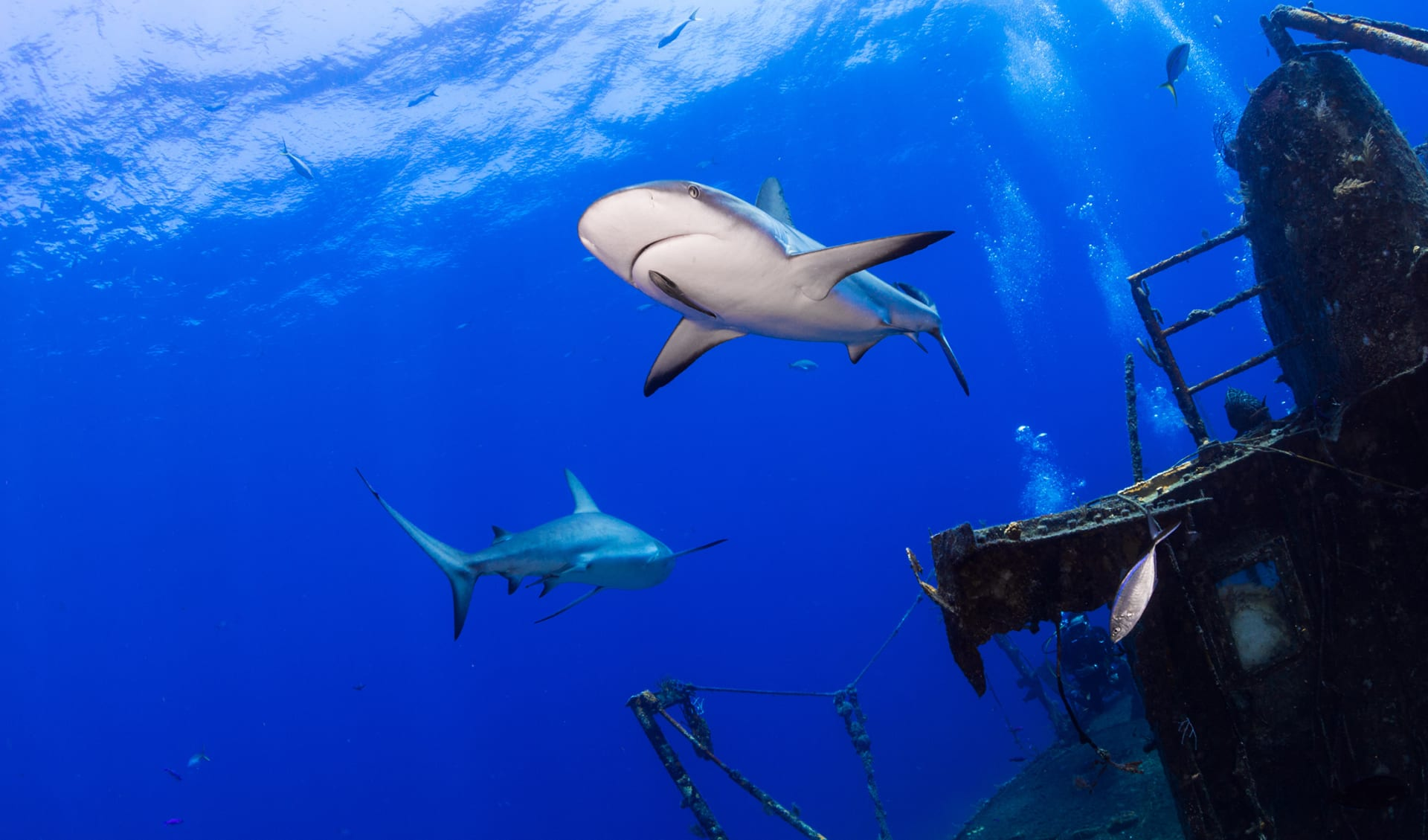 Carribean reef shark swimming by a ship wreck