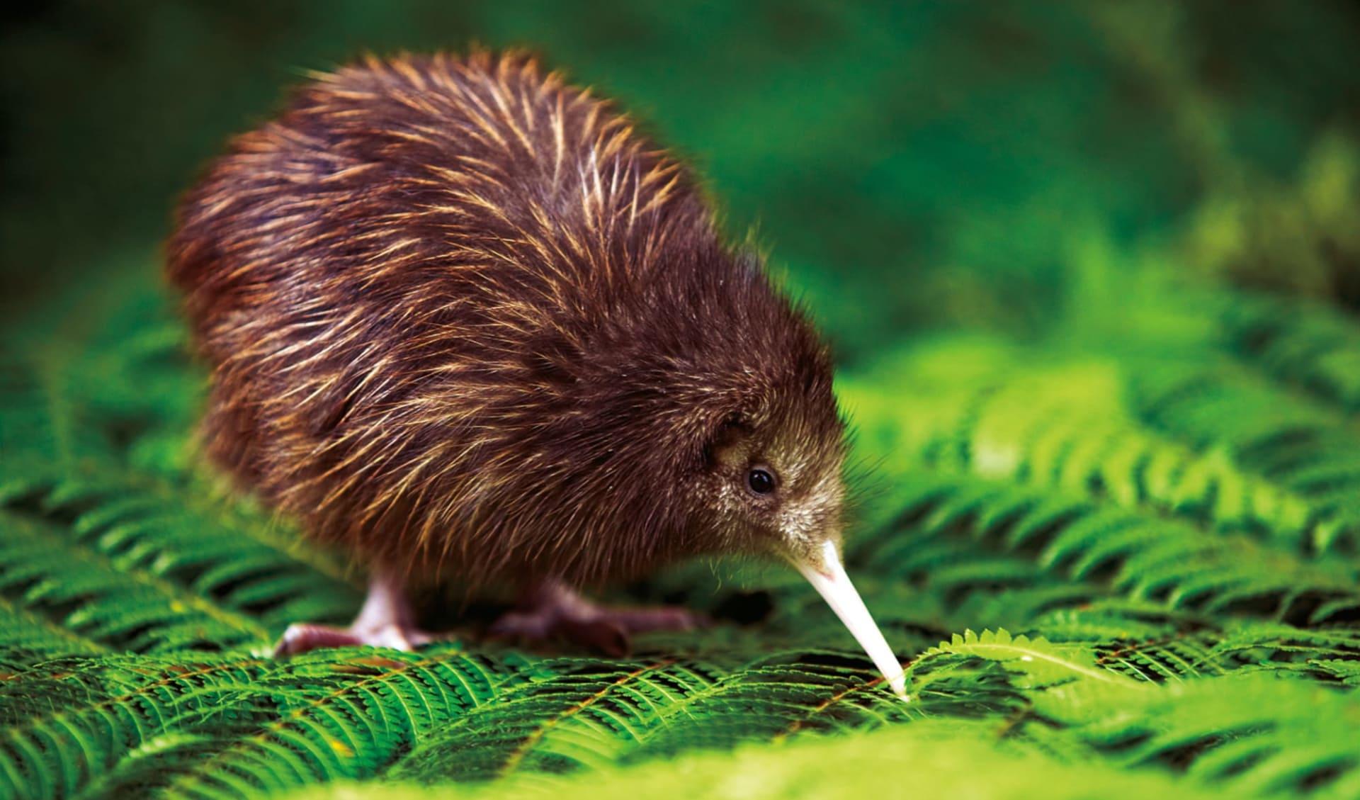 Aotea Track Package ab Auckland: Kiwi - AAT_Kiwi_RotoruaNZ_ChrisMcLennen