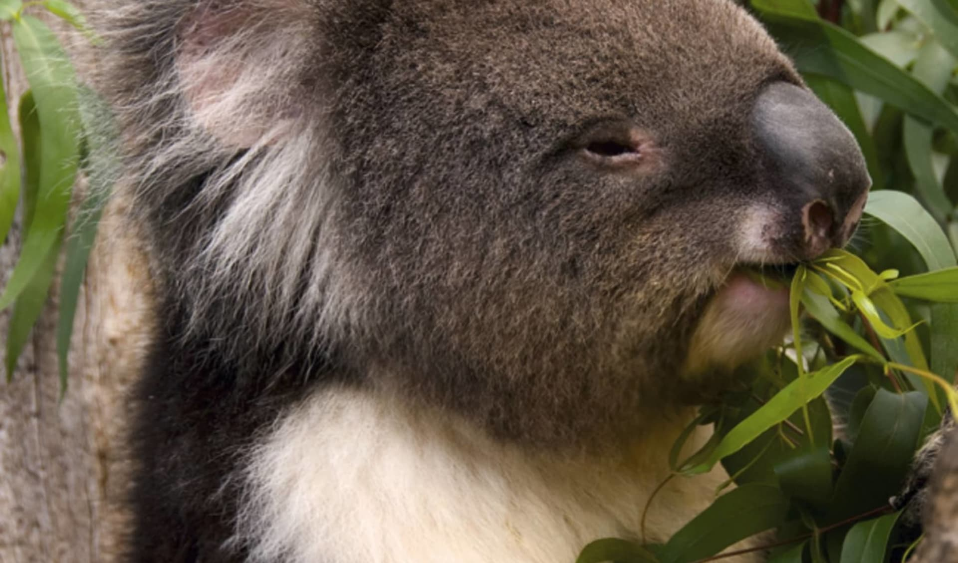 Explorer Tour ab Adelaide: Koala - Nahaufnahme