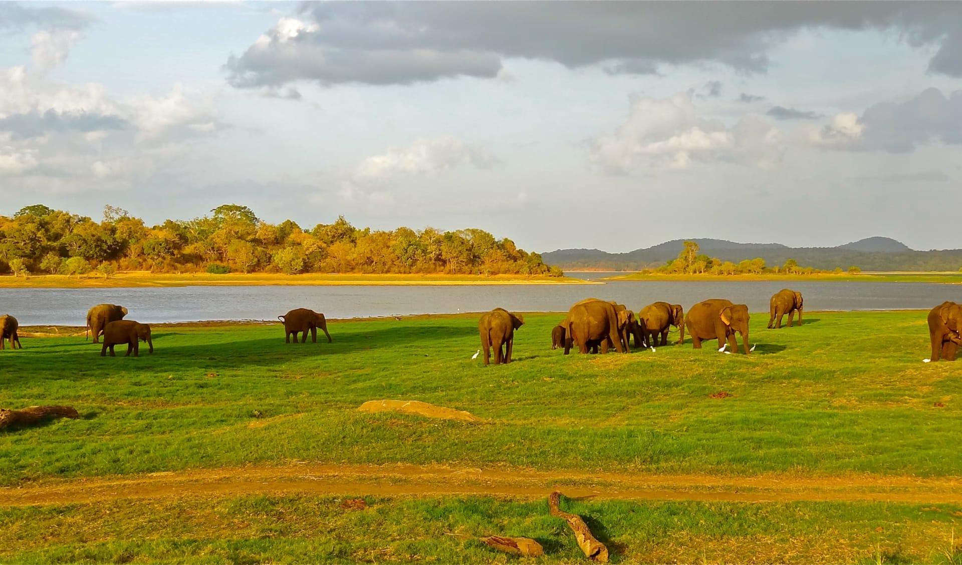 Höhepunkte Sri Lankas ab Colombo: Minneriya National Park
